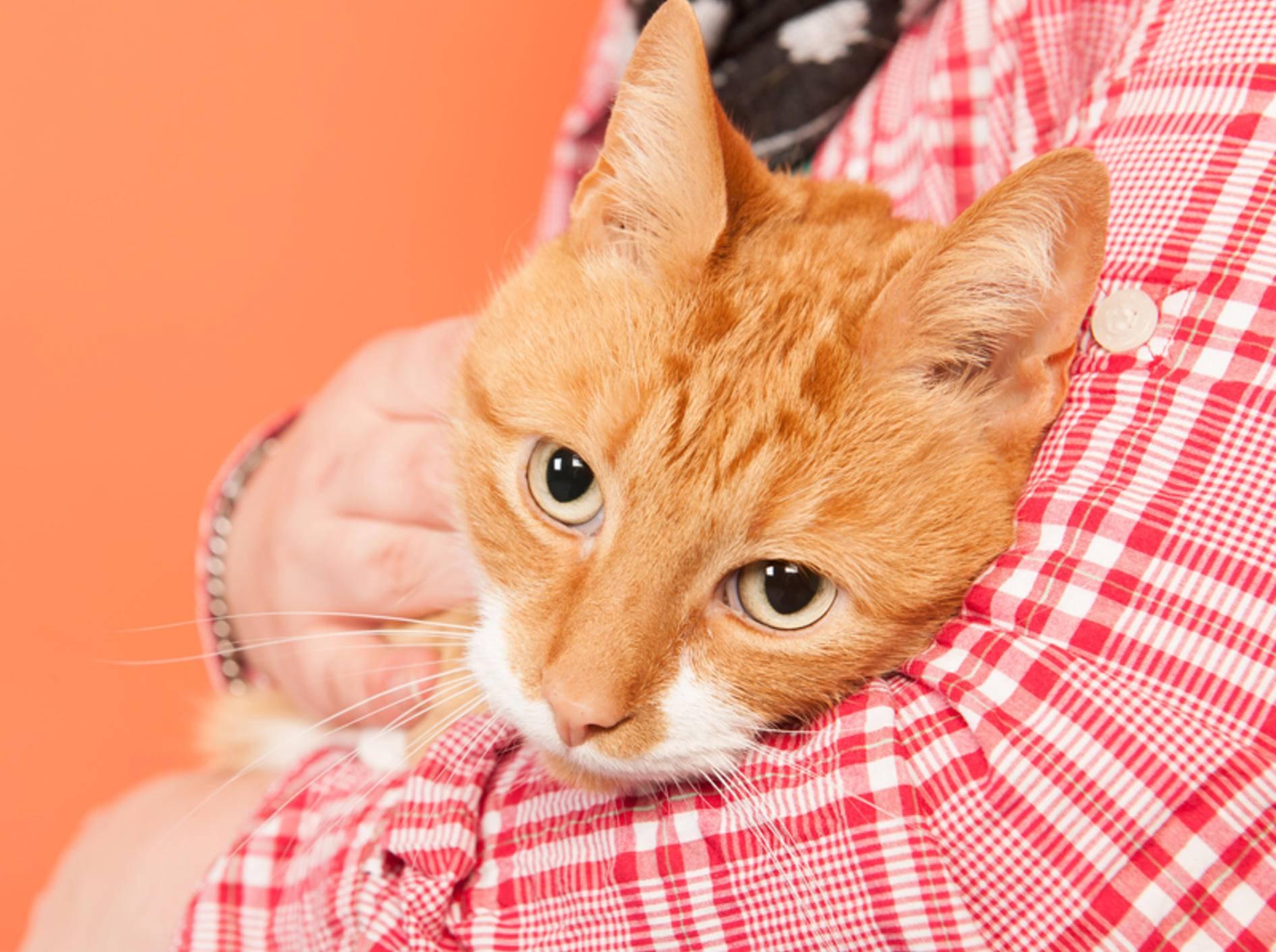 Nicht jede Katze lässt sich auf den Arm nehmen – Shutterstock / Ivonne Wierink