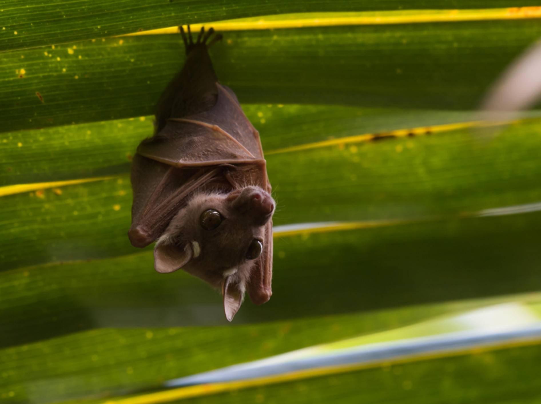 Diese klitzekleine Fledermaus versteckt sich unter einem Palmblatt – Shutterstock / Dave Montreuil