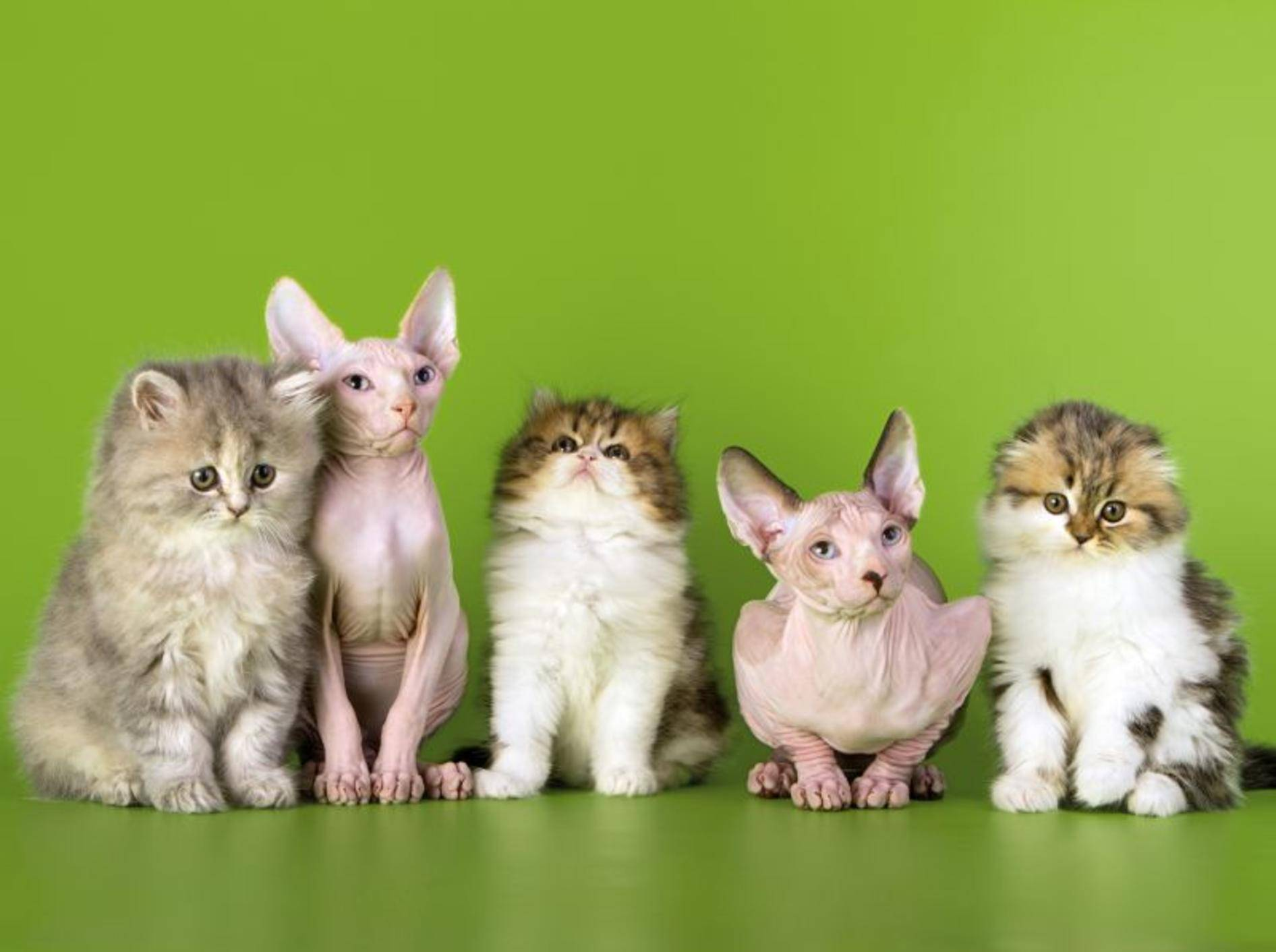Katzenrassen gibt es für jeden Geschmack – Shutterstock / Asichka