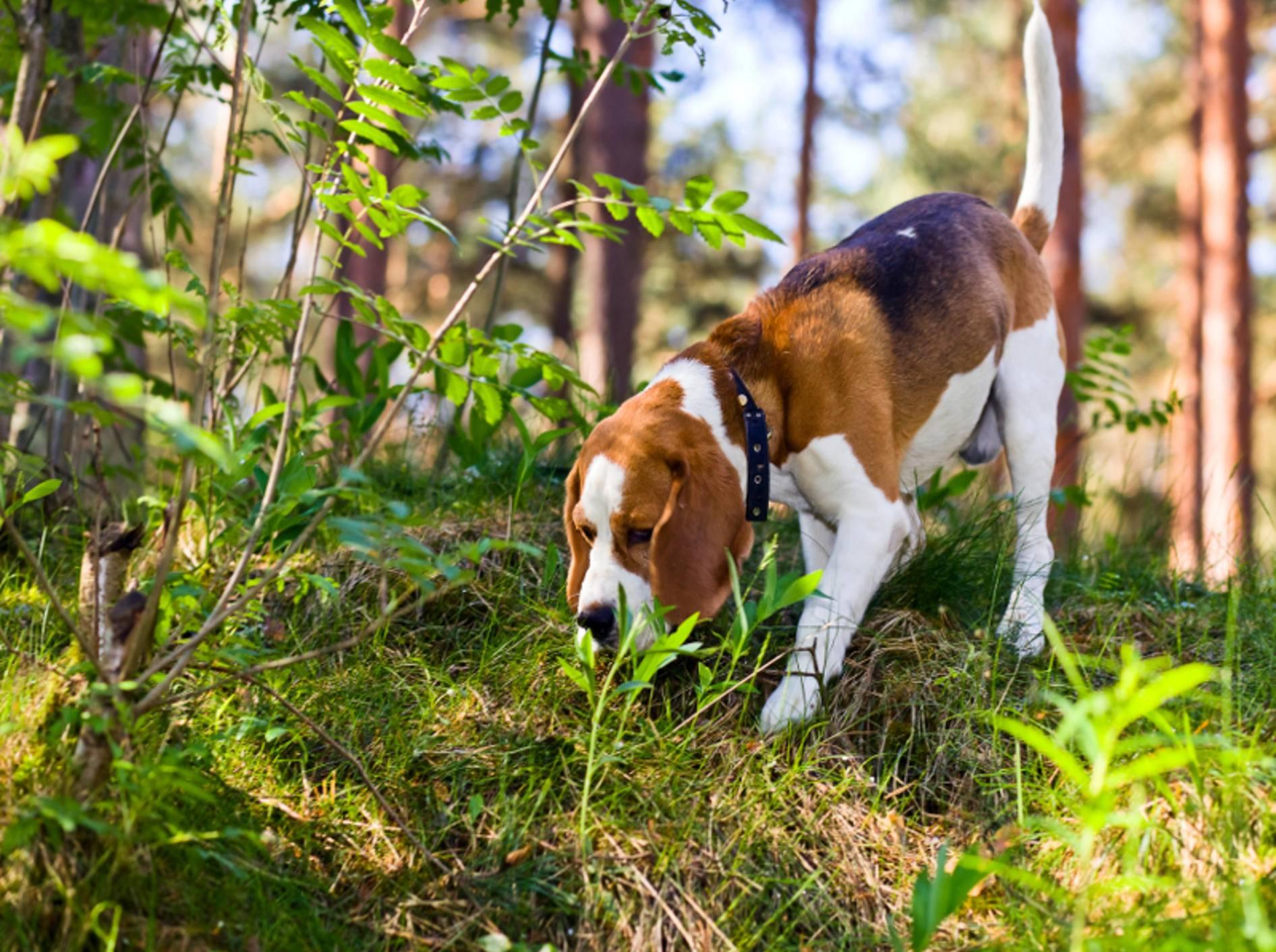 Wittern Hunde Köder, sollten Besitzer schnell reagieren – Shutterstock / Igor Normann