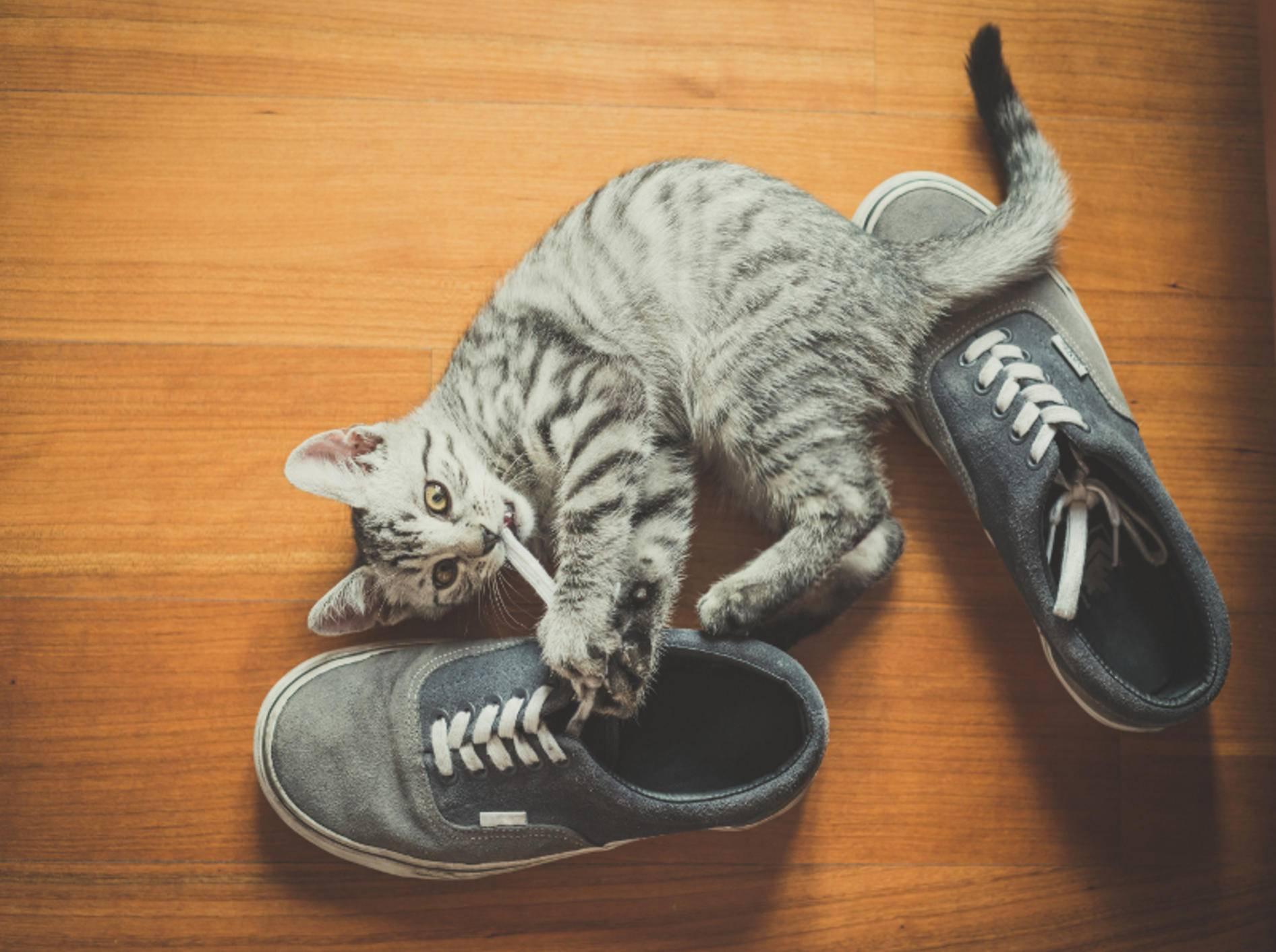 Die kleine Katze knabbert aus Langeweile am Schnürsenkel – Shutterstock / Eugenio Marangiu