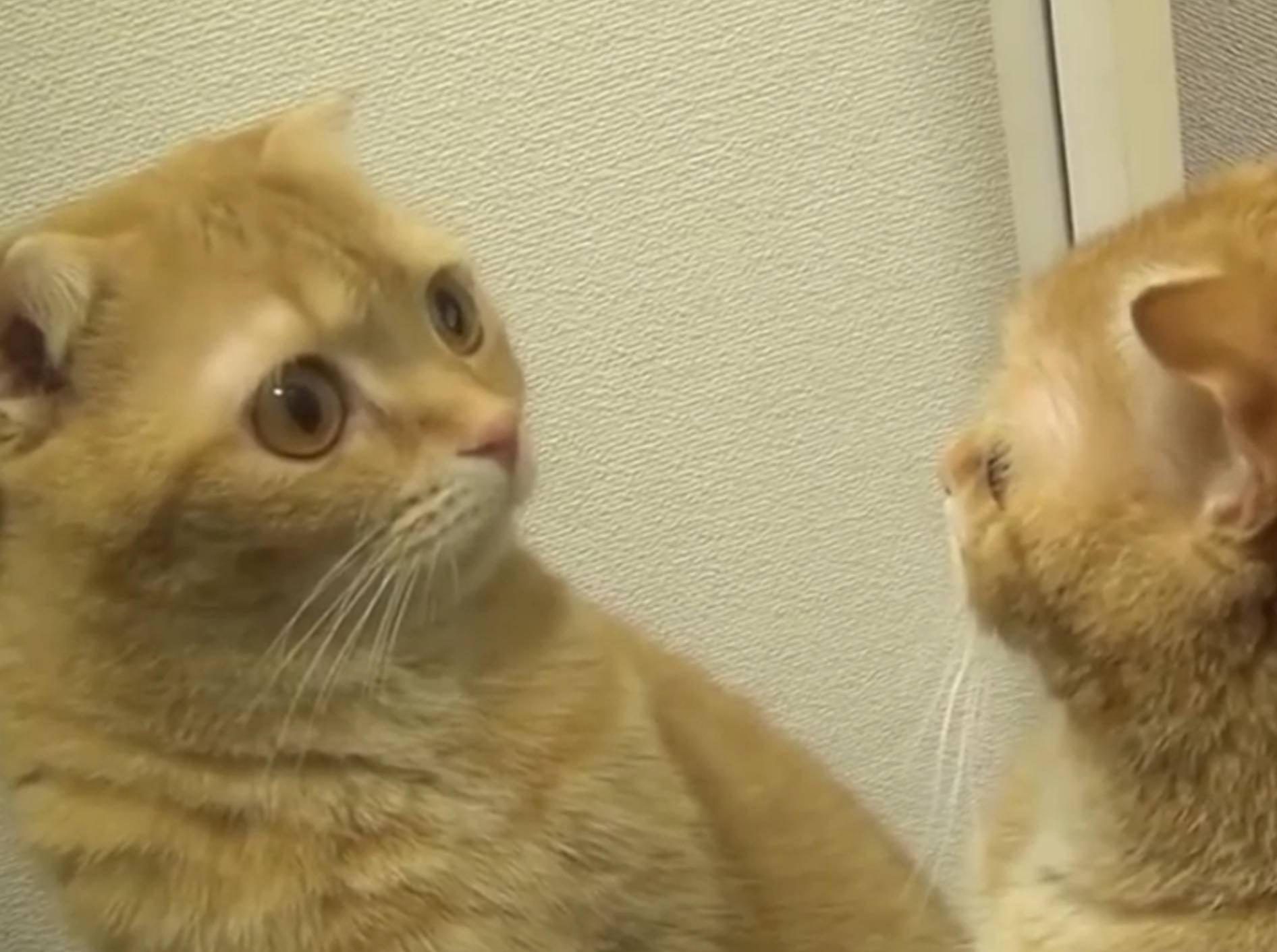 Ganz schön eitel: Katzen betrachten sich im Spiegel – Bild: YouTube / The Dodo