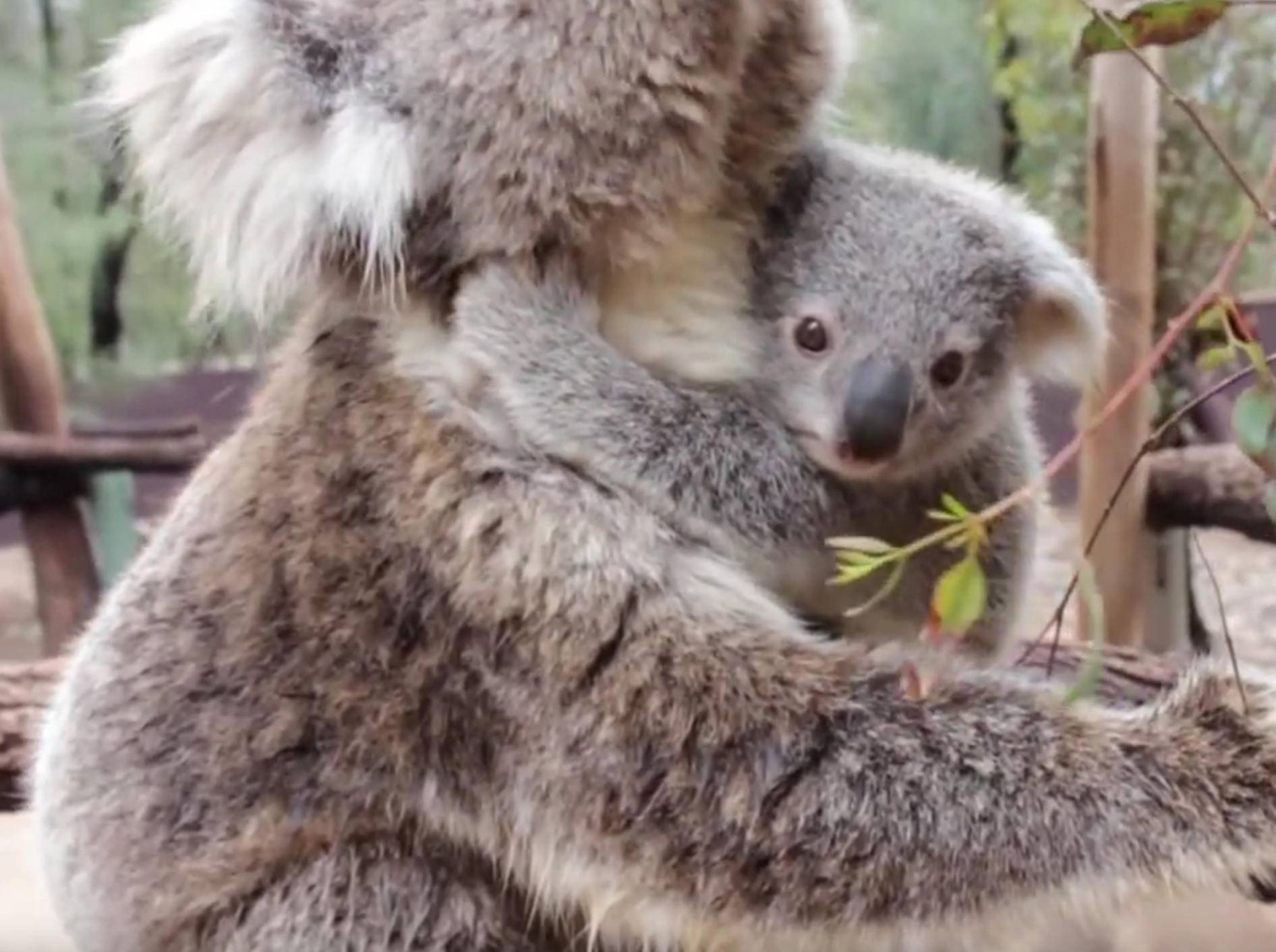 Hallöchen! Koalababy zeigt sich der Welt – Bild: YouTube / Taronga Sydney