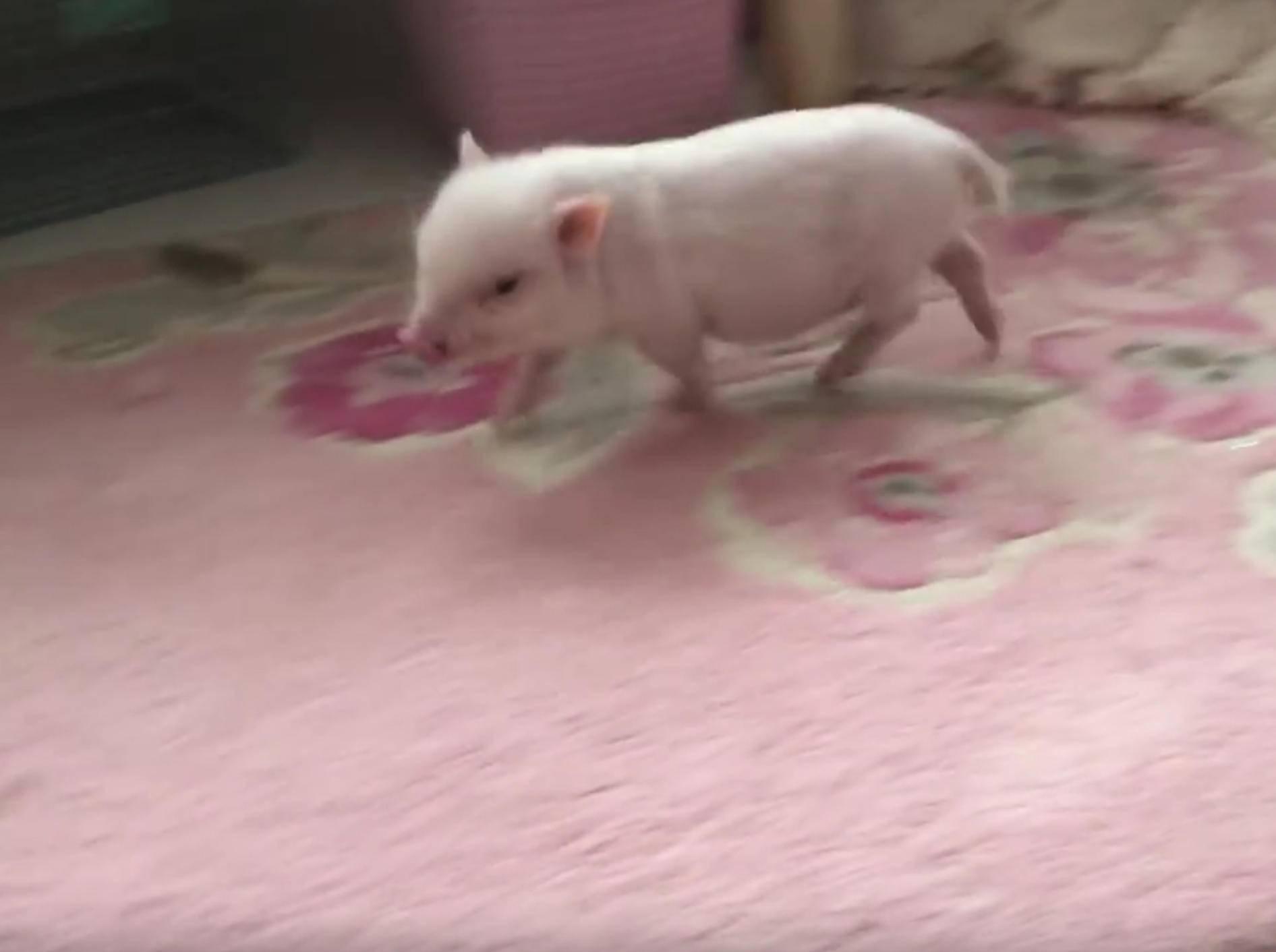 Minischwein Pearl außer Rand und Band – Bild: YouTube / Live Sweet