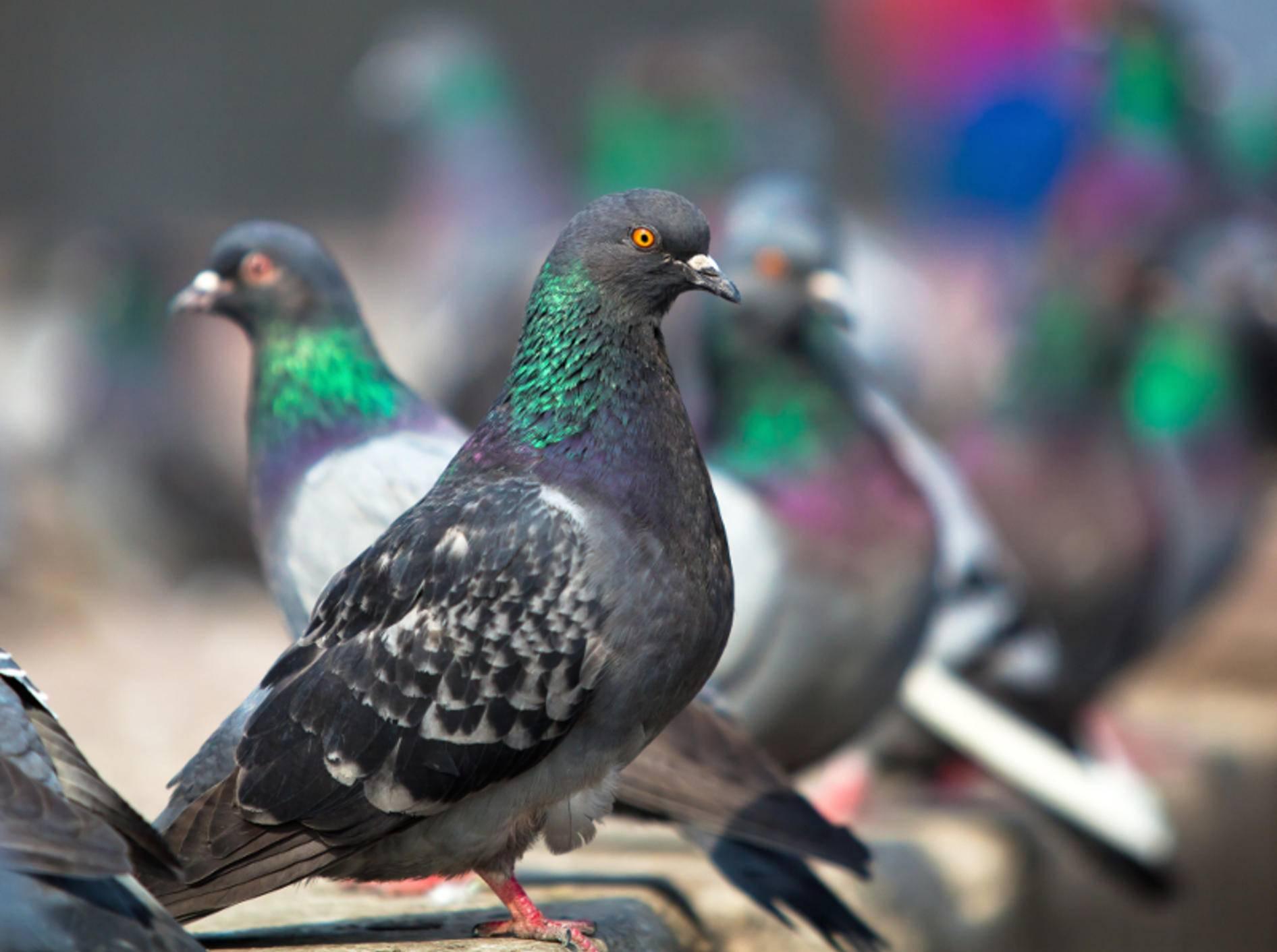 Ob am Bahnhof oder im Park: Tauben sind an vielen Orten zu finden – Bild: Shutterstock / Furtseff