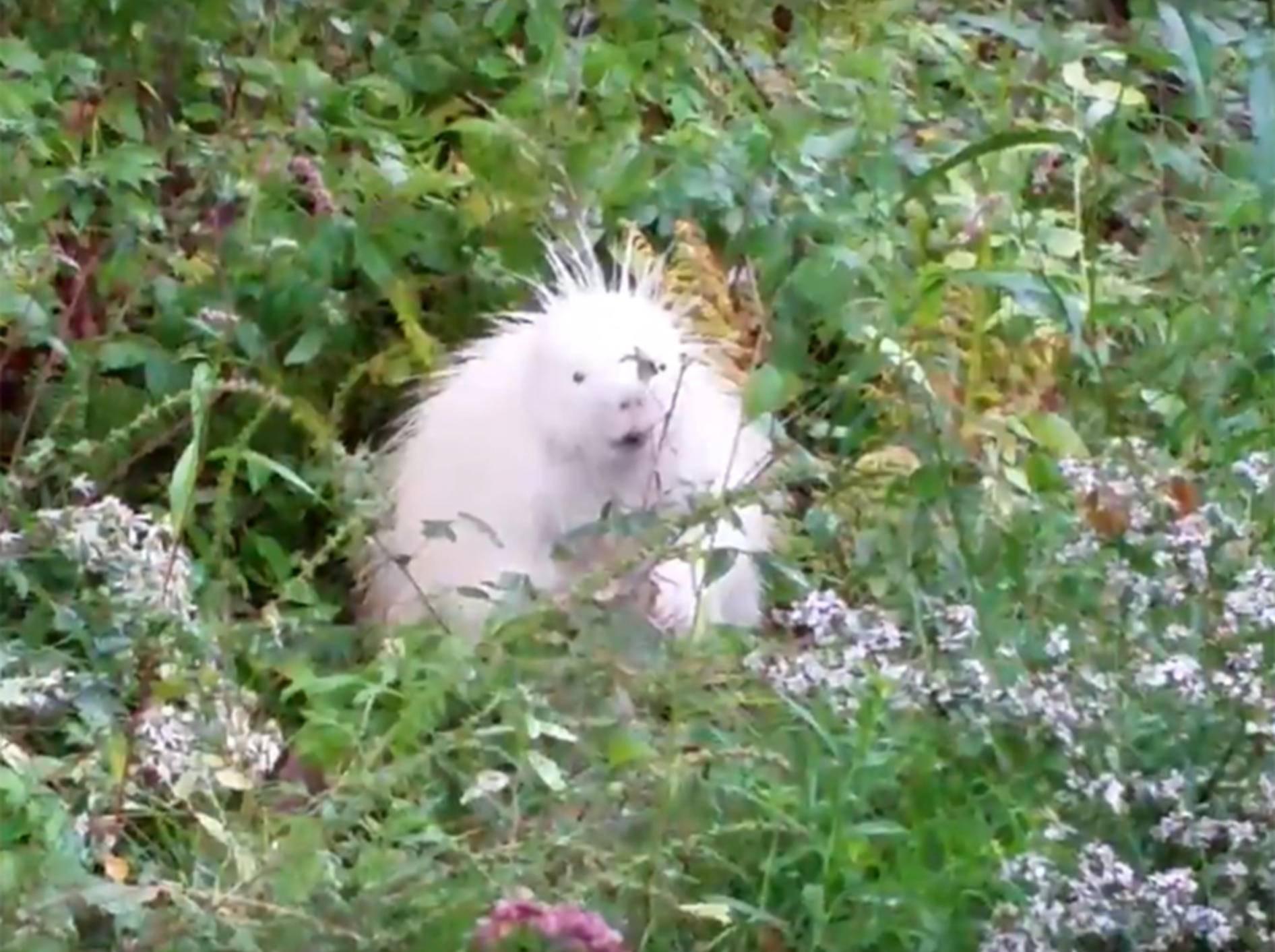 Ein schneeweißes Stachelschwein sieht man nicht alle Tage – YouTube / Sue Lichty