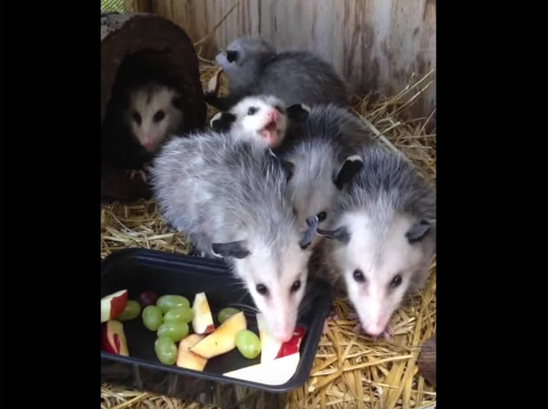 """""""Lecker, Obst!"""": Glückliche Baby-Opossums – YouTube / amanda c"""