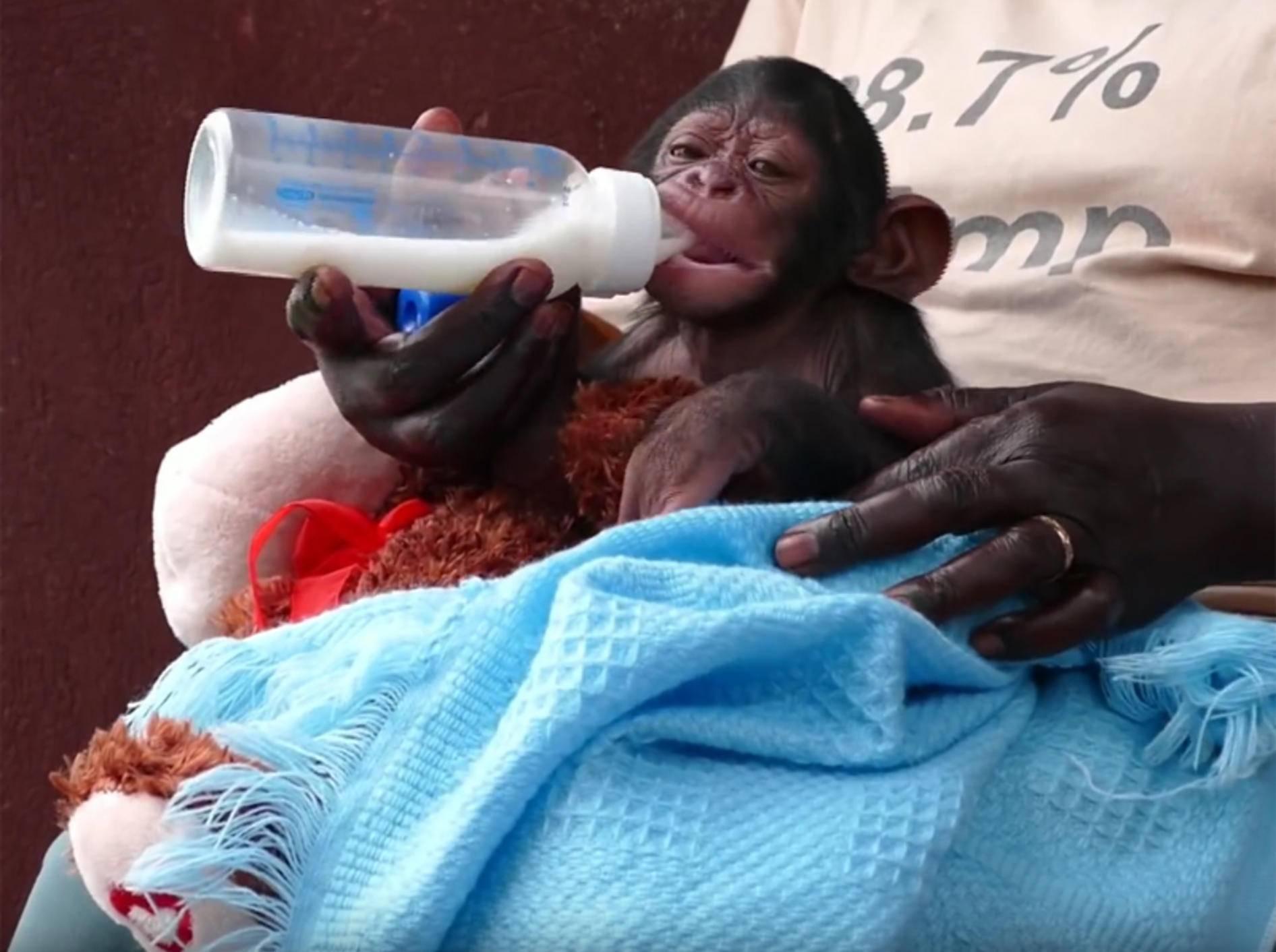 Lecker, Milch! Baby-Schimpanse lässt es sich schmecken – YouTube / Debra Durham