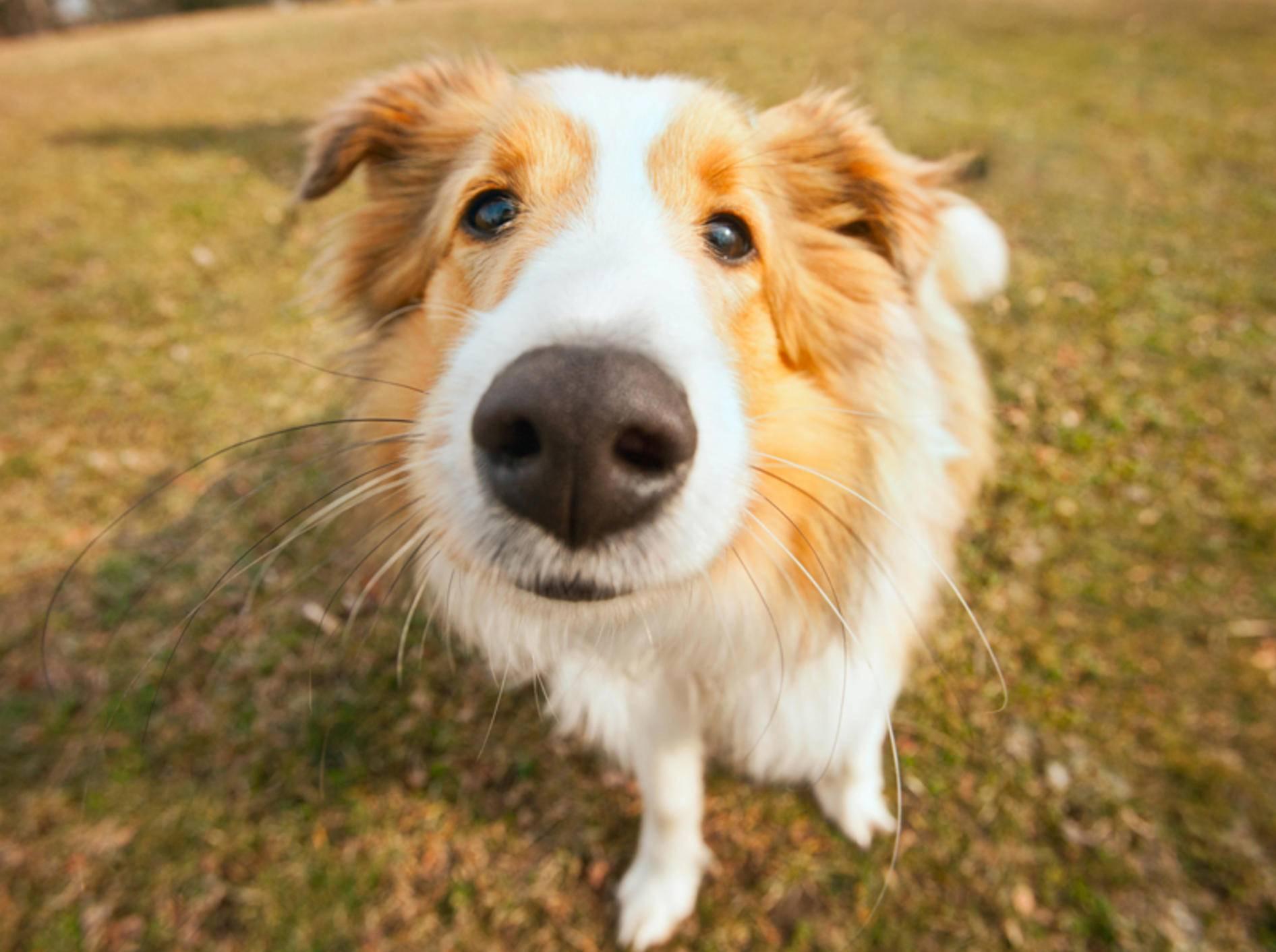 Ohne sein wichtigstes Sinnesorgan, der Nase, wäre ein Hund aufgeschmissen – Shutterstock / aastock