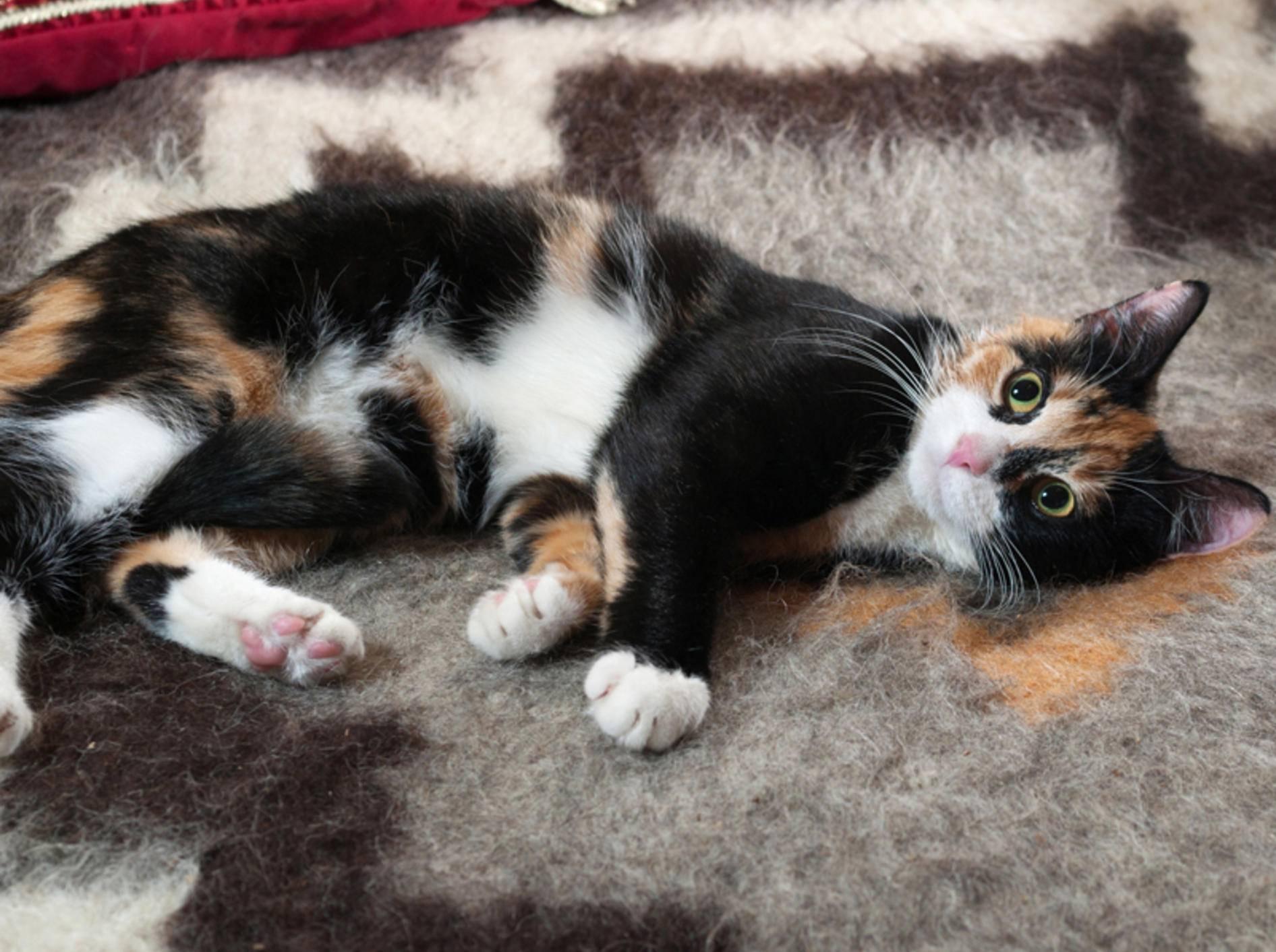 Der Legende nach bringen dreifarbige Katzen Glück – Shutterstock / hannadarzy
