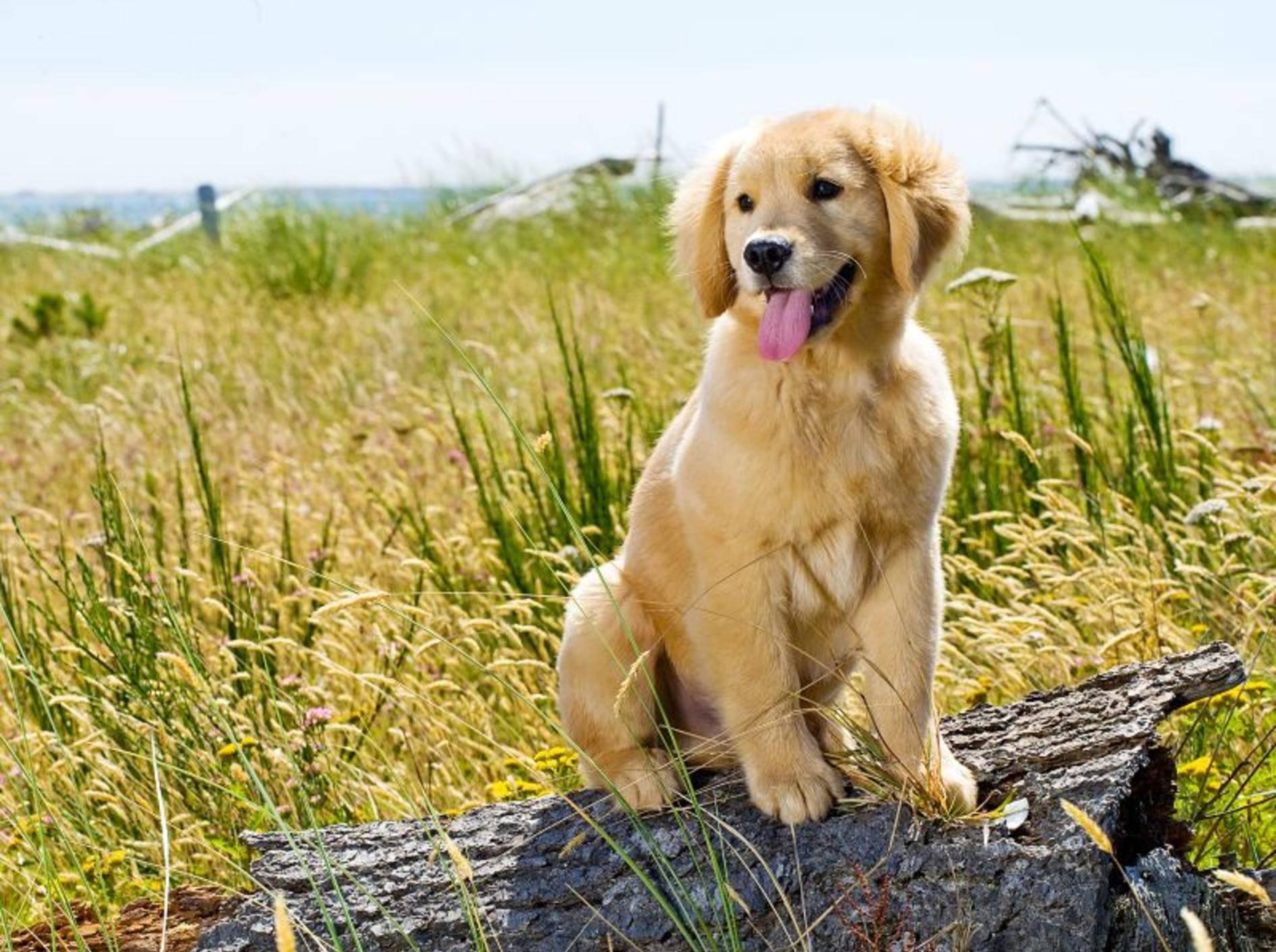 Kornähren sehen schön aus, können aber für den Hund gefährlich sein – Shutterstock / Mat Hayward