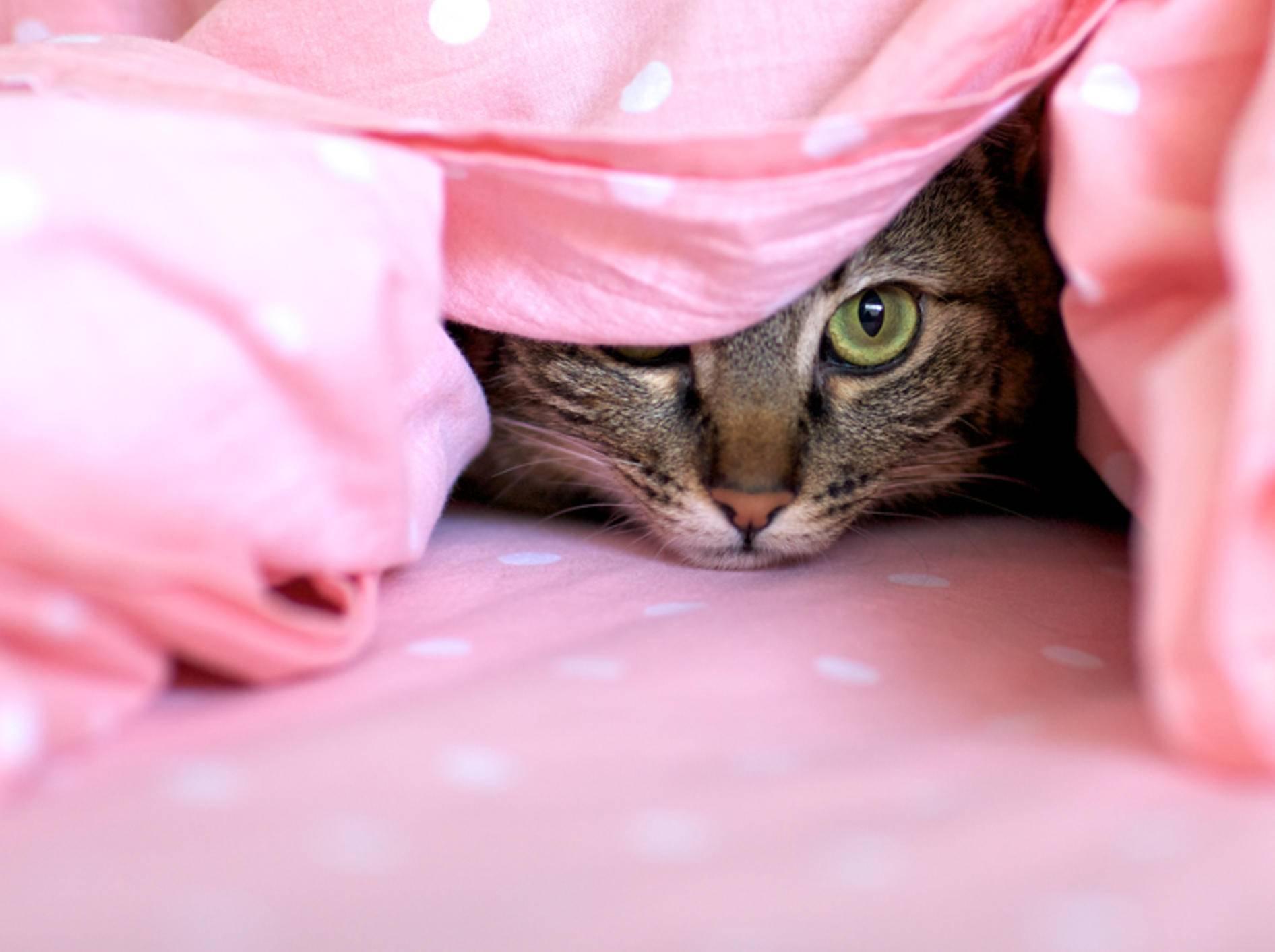 Nicht jede schüchterne Katze hat eine Angststörung – Shutterstock / Julie Vader