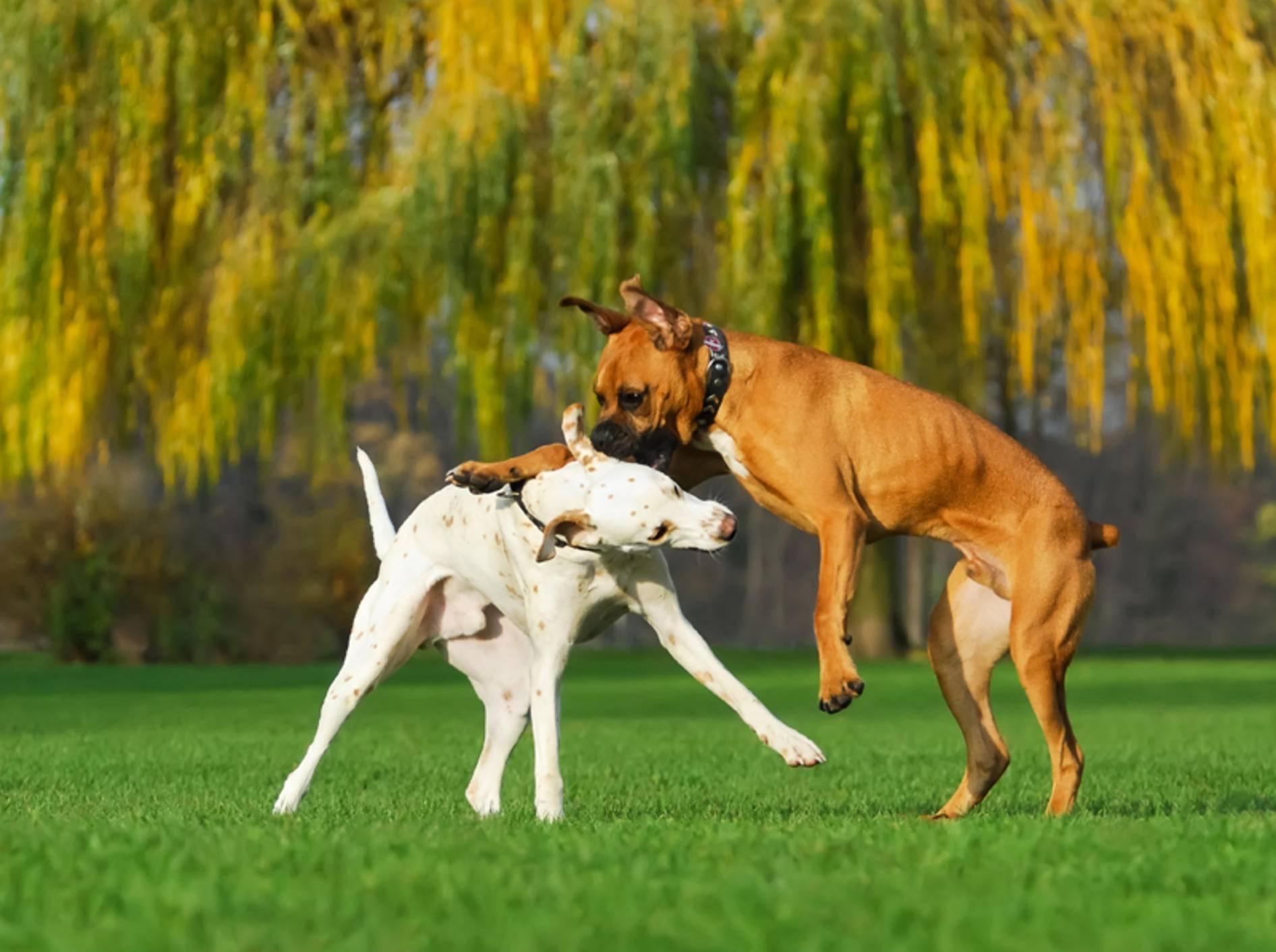 """""""Das machen die unter sich aus"""": Was ist dran an diesem Satz zum Hundestreit? – Shutterstock / Katho Menden"""