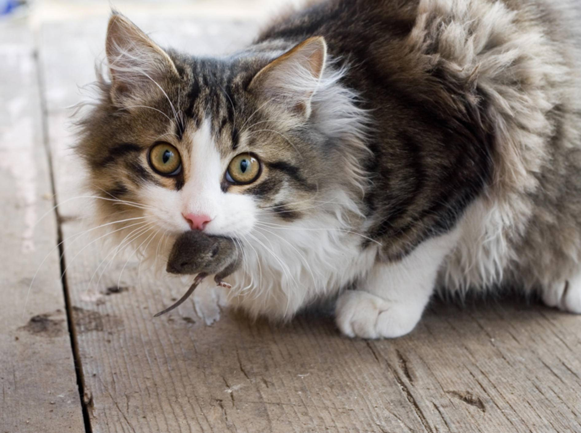 """""""Guck mal, hab ich selbst gefangen!"""": Diese junge Katze ist stolz auf ihre Beute – Shutterstock / Andrey Stratilatov"""