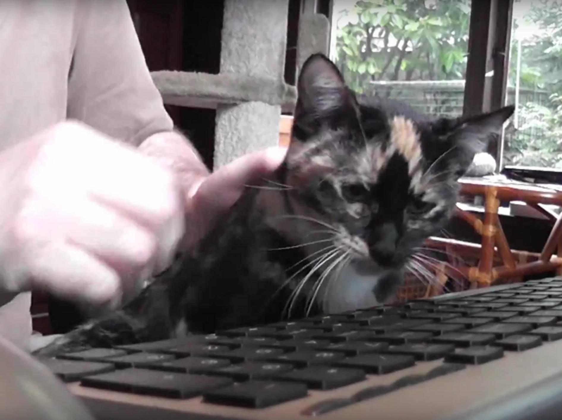 Die Kuschelmiez will Herrchen von der Arbeit abhalten – YouTube / DrNworb's KitsCats