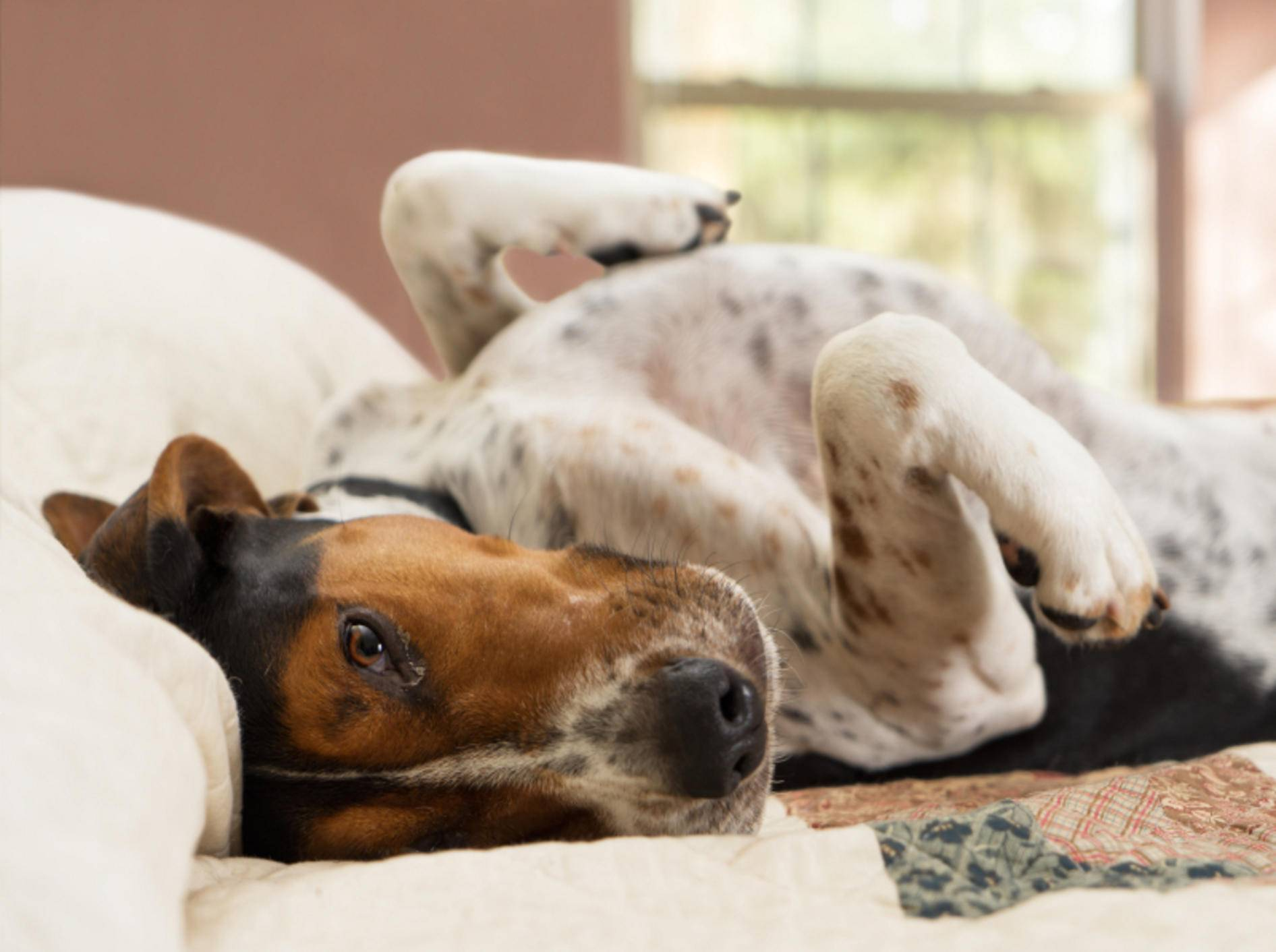 pupsender Hund-shutterstock-Lindsay Helms-245428441