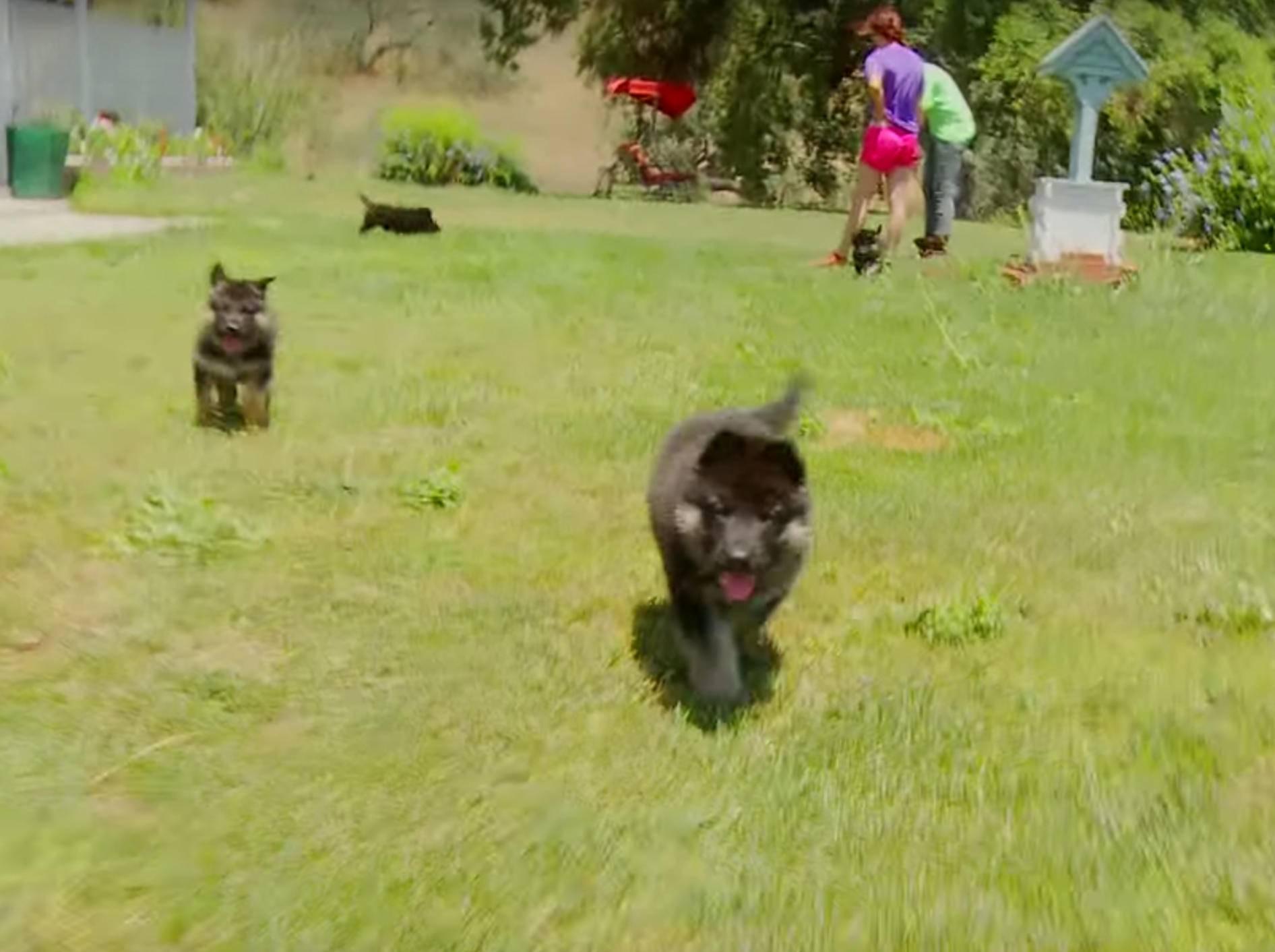 """""""Guck mal, wie schnell ich laufen kann!"""", sagt der Baby-Schäferhund – YouTube / The Pet Collective"""