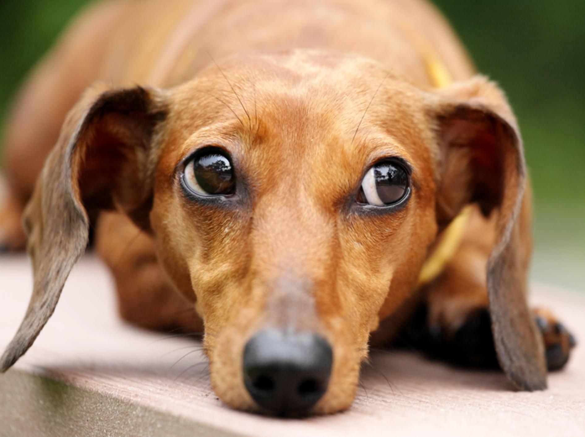 Dieser Hund beherrscht den Dackelblick perfekt – Shutterstock / leungchopan