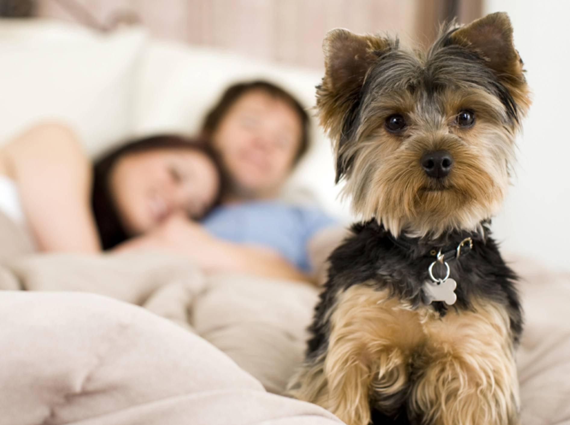 """""""Hat Frauchen mich nicht mehr lieb?"""": Yorkshire Terrier ist von neuem Partner verunsichert – Shutterstock / Phase4Studios"""