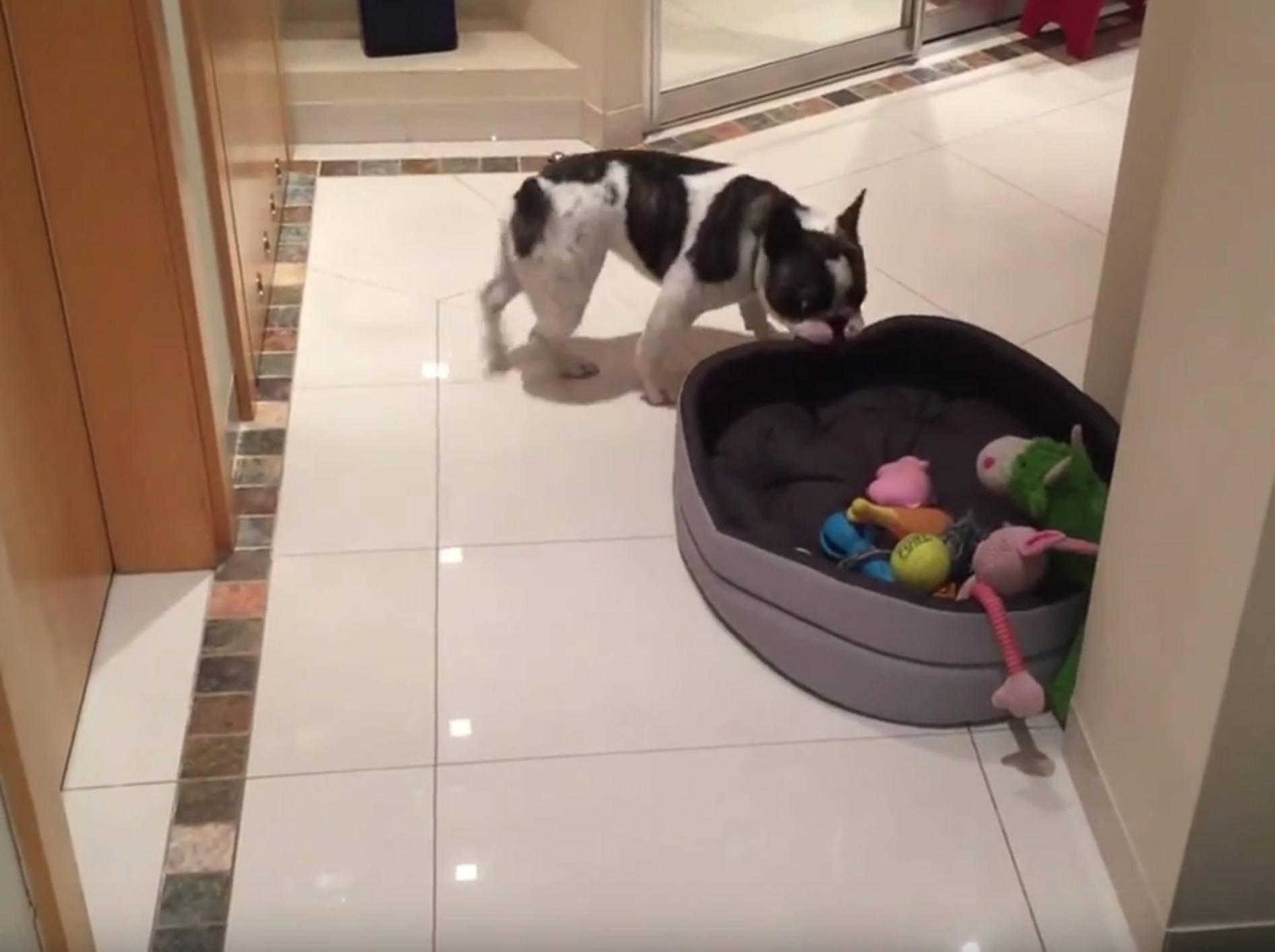 Knuffige Französische Bulldogge überwältigt vom neuen Bettchen – Bild: YouTube / Rumble Viral