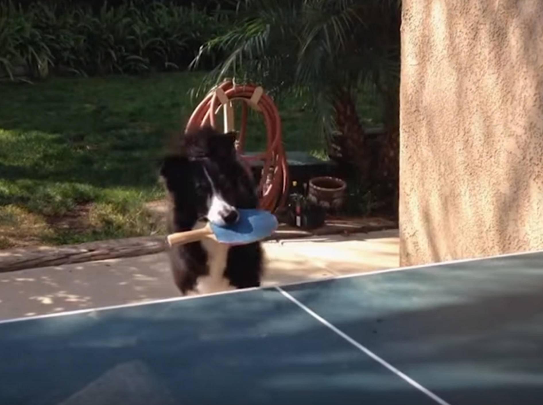 Spiel, Satz und Sieg! Hund übt Tischtennisspiel – Bild: YouTube / Kyoot Animals