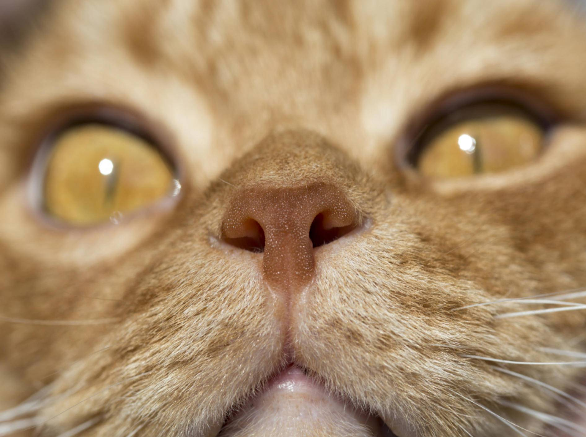 Katzen riechen deutlich besser als Menschen – Shutterstock / Alex Brylov