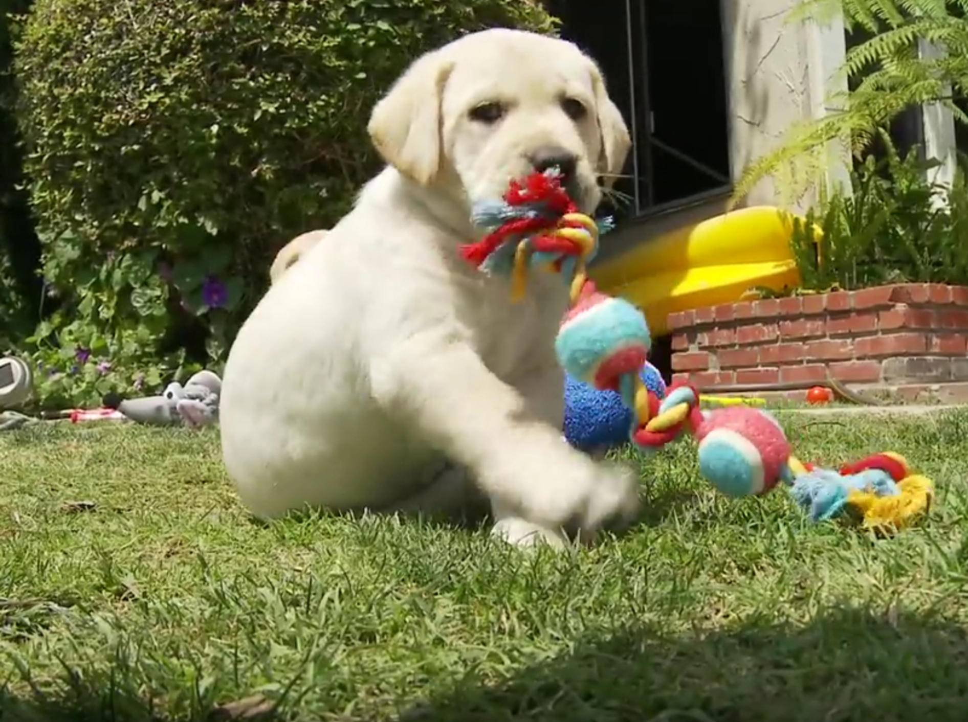 Außer Rand und Band: Putzige Labrador-Welpen beim Spielen – Bild: YouTube / The Pet Collective