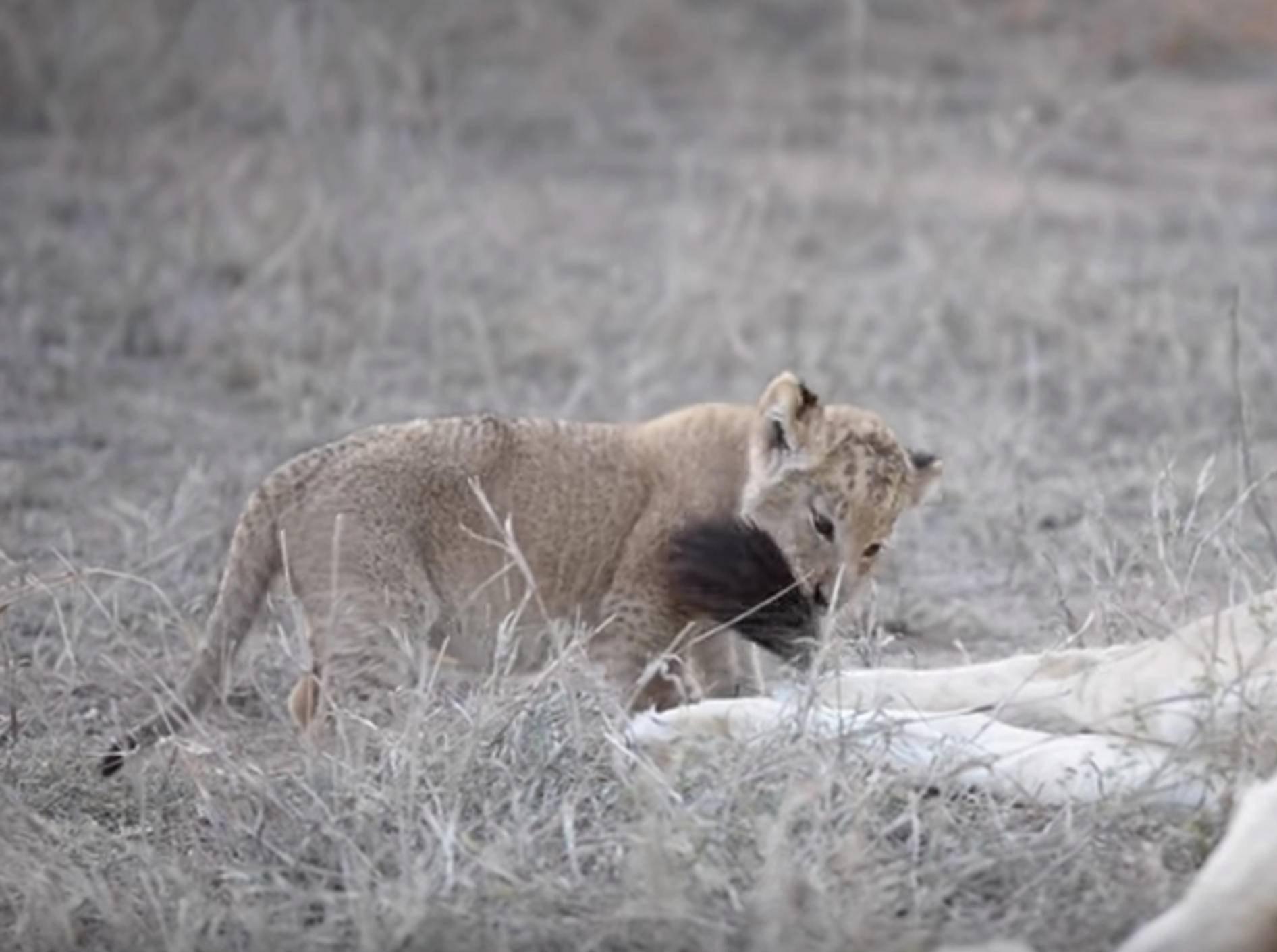 Freches Löwenbaby ärgert Artgenossin – Bild: YouTube / SunDestinations