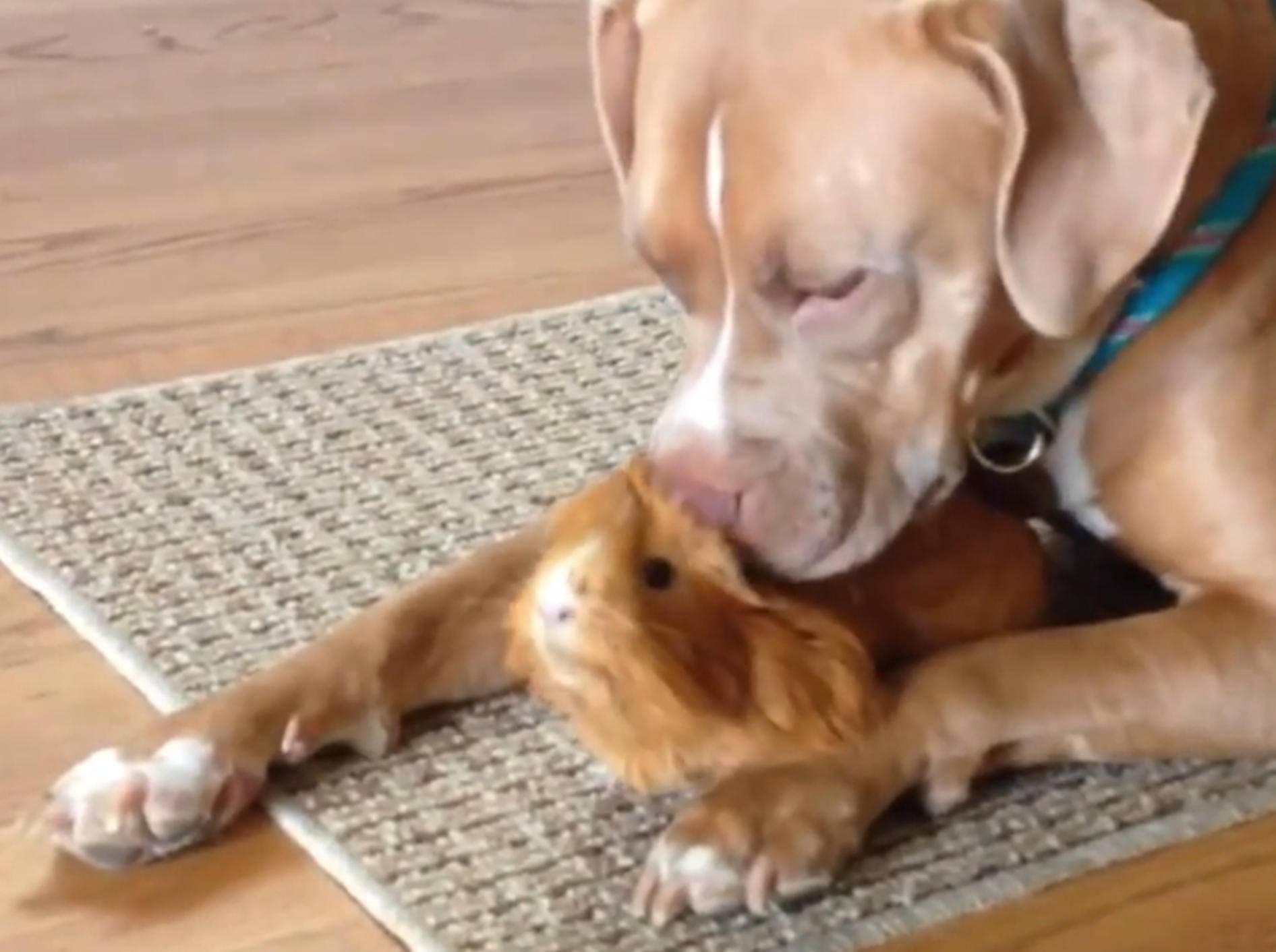 Ein Herz und eine Seele: Pitbulls und Meerschweinchen – Bild: YouTube / The Dodo