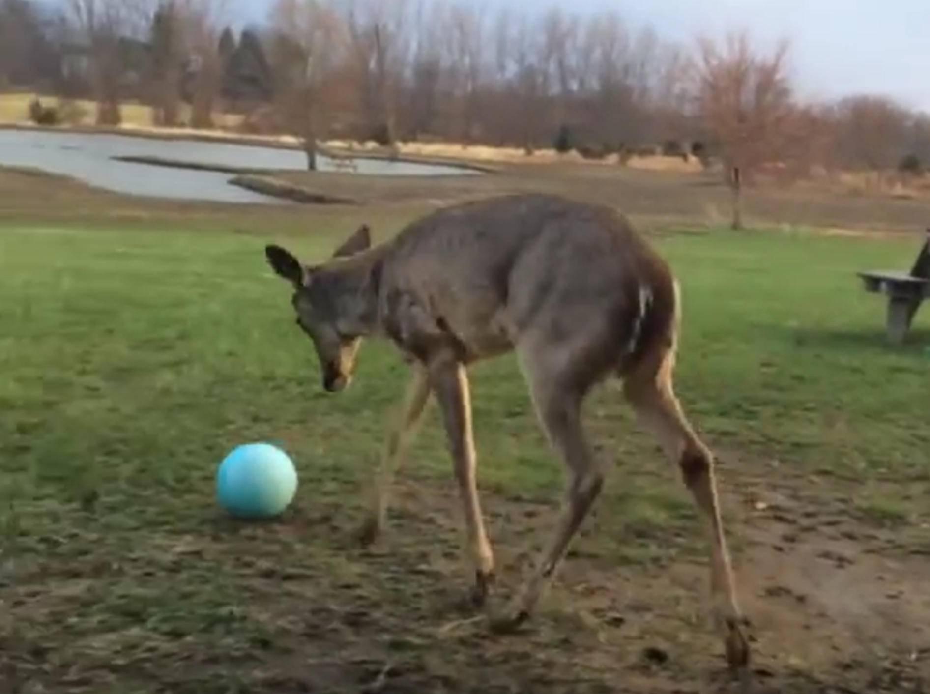 Tapsiges Rehkitz spielt mit Ball – Bild: YouTube / Kyoot Animals