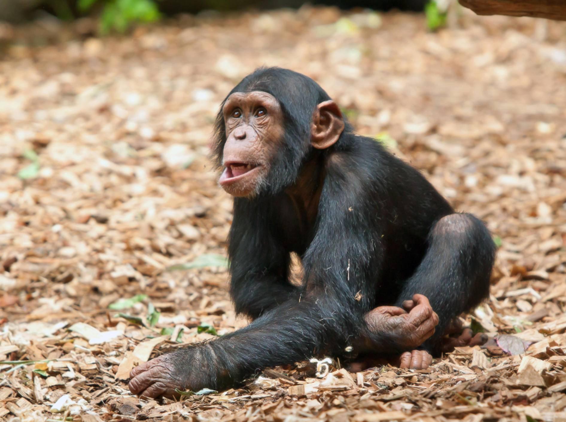 Schimpansen wie dieses süße Kerlchen gehören zur Familie der Menschenaffen – Bild: Shutterstock / nodff