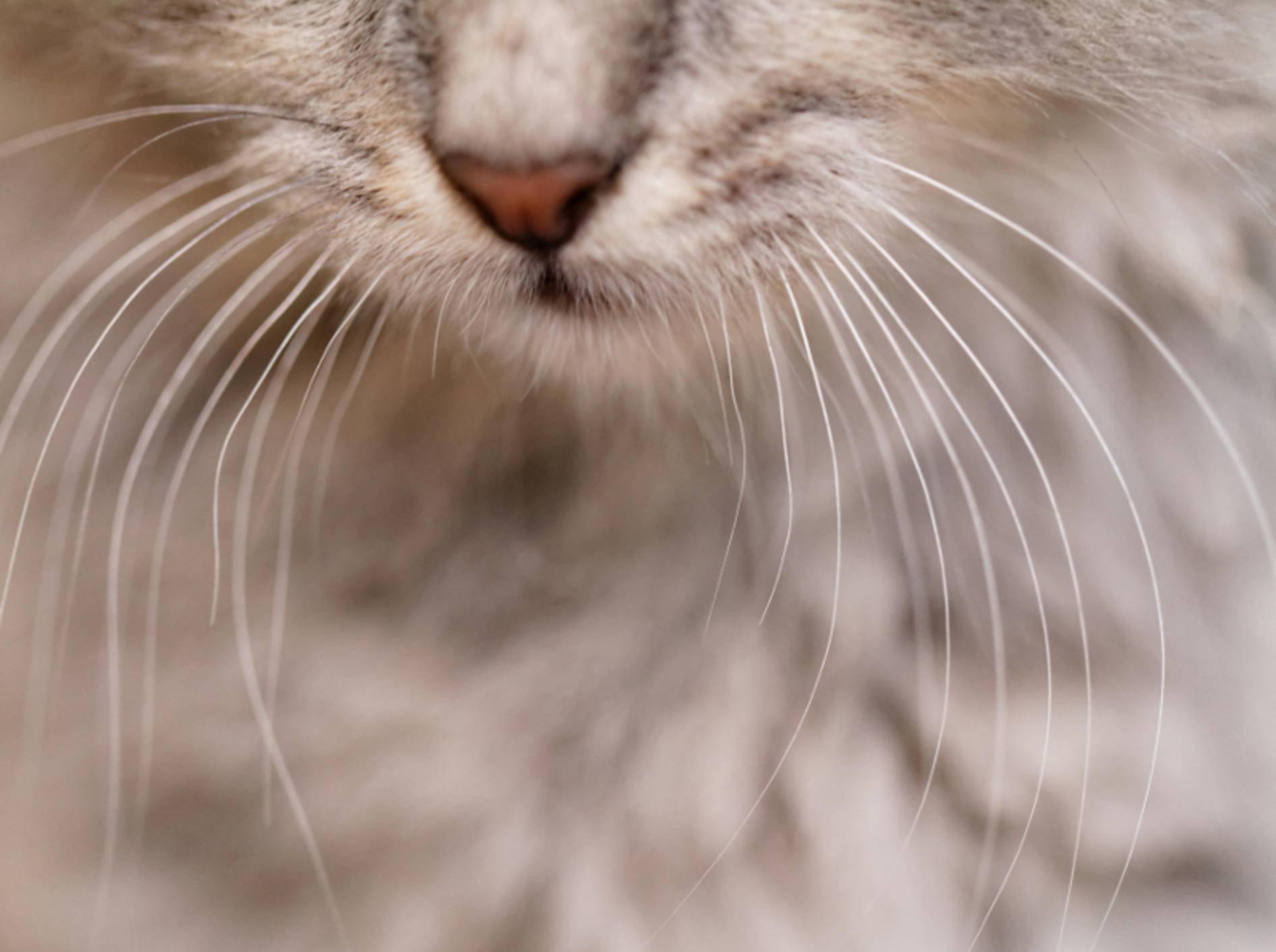 Die Tasthaare von Katzen erfüllen viele Funktionen im Katzenalltag – Shutterstock / Nneirda