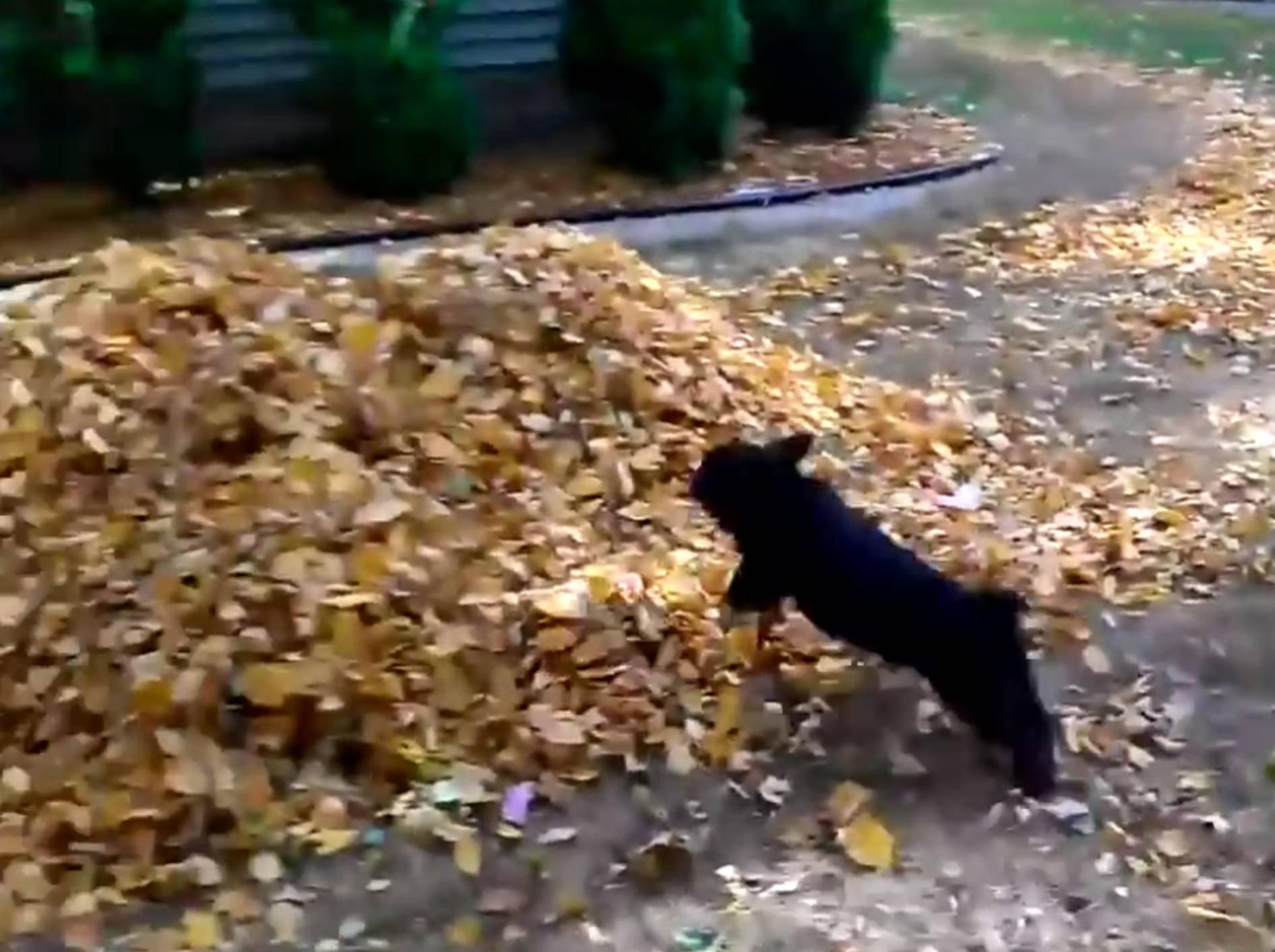 Aufgedrehte Welpen toben im Herbstlaub – Bild: YouTube / MrFunnyMals