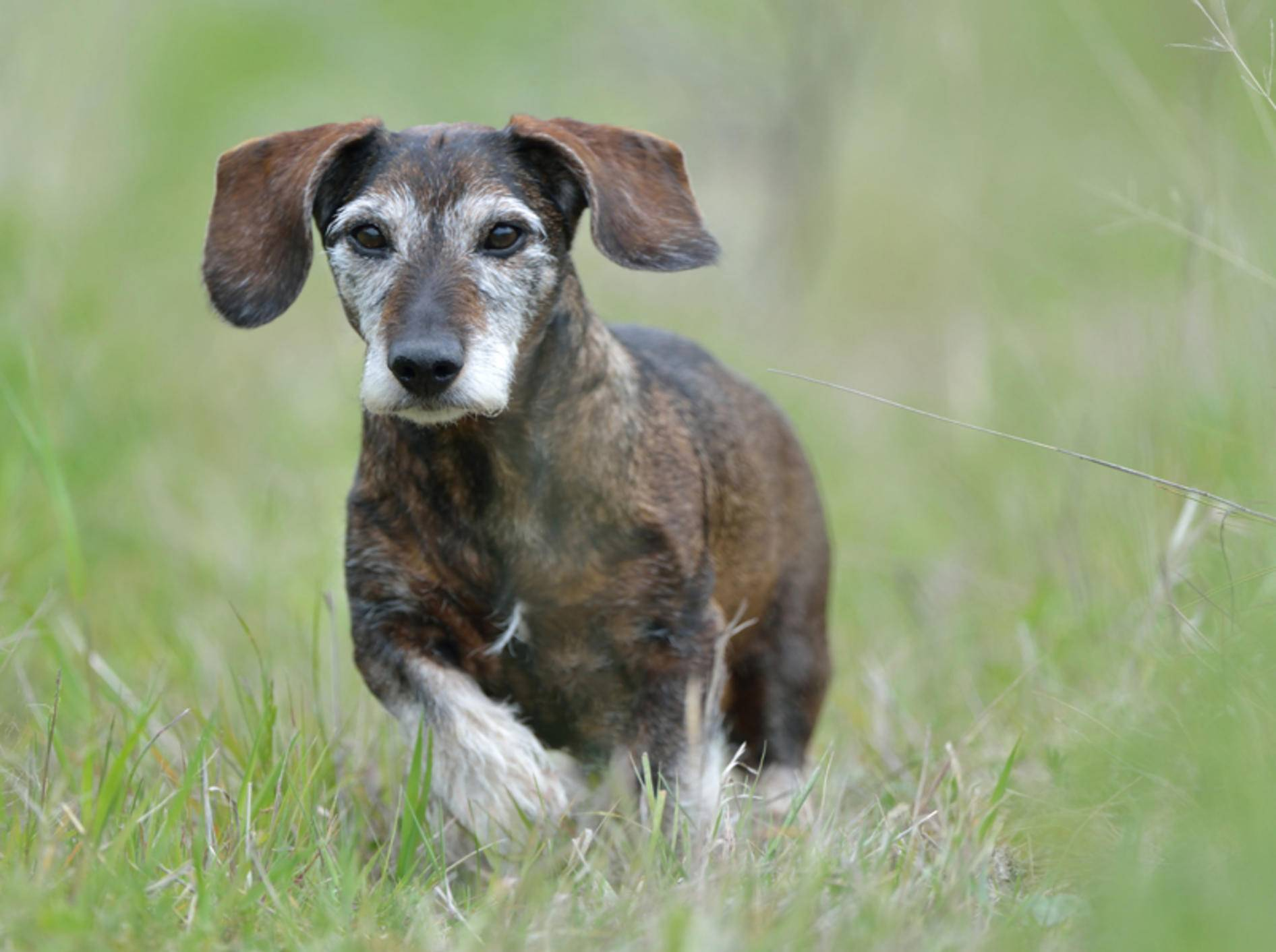 Kleine Hunde wie der Dackel haben meist eine höhere Lebenserwartung – Shutterstock / Sabine Schmidt