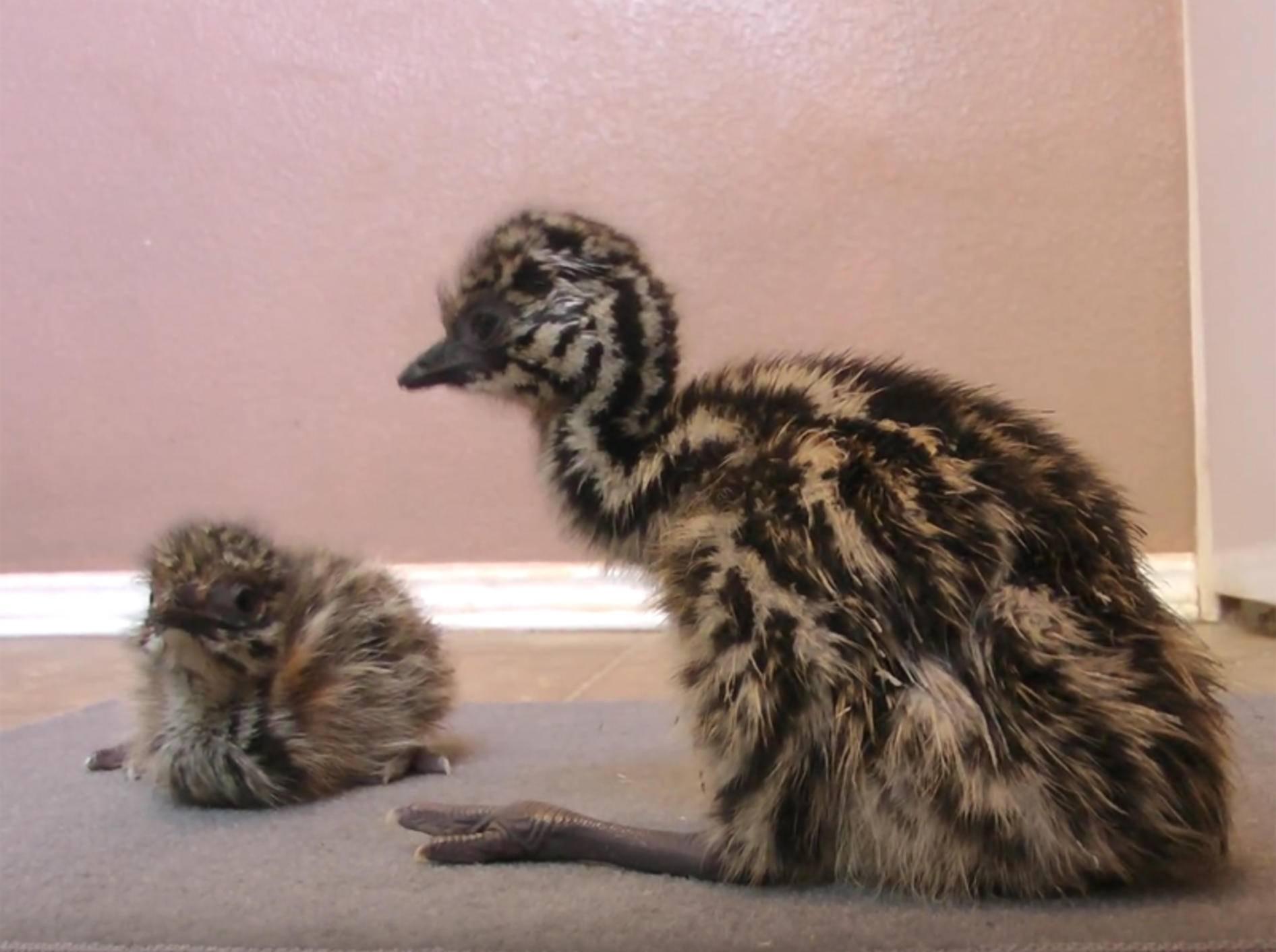 Emu-Küken machen ihre ersten Schrittchen – YouTube / camelsandfriends
