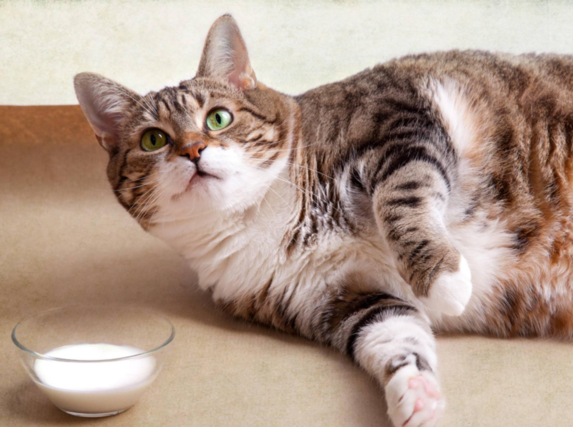 Lecker, aber leider ein Dickmacher: Katzenmilch – Shutterstock / Nailia Schwarz