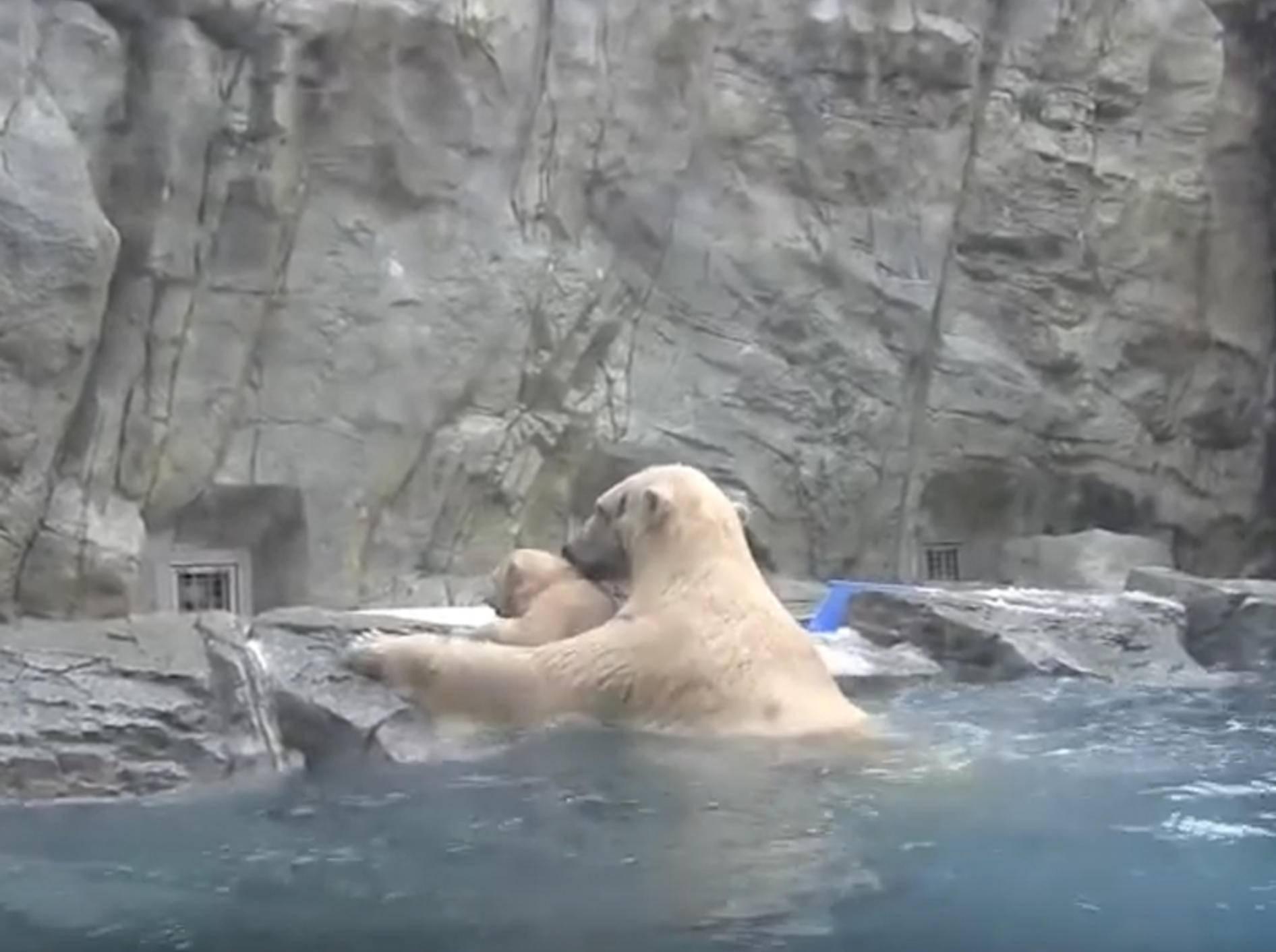 Schnell reagiert: Mama Eisbär rettet ihr Baby vorm Ertrinken – YouTube / Mmovies21