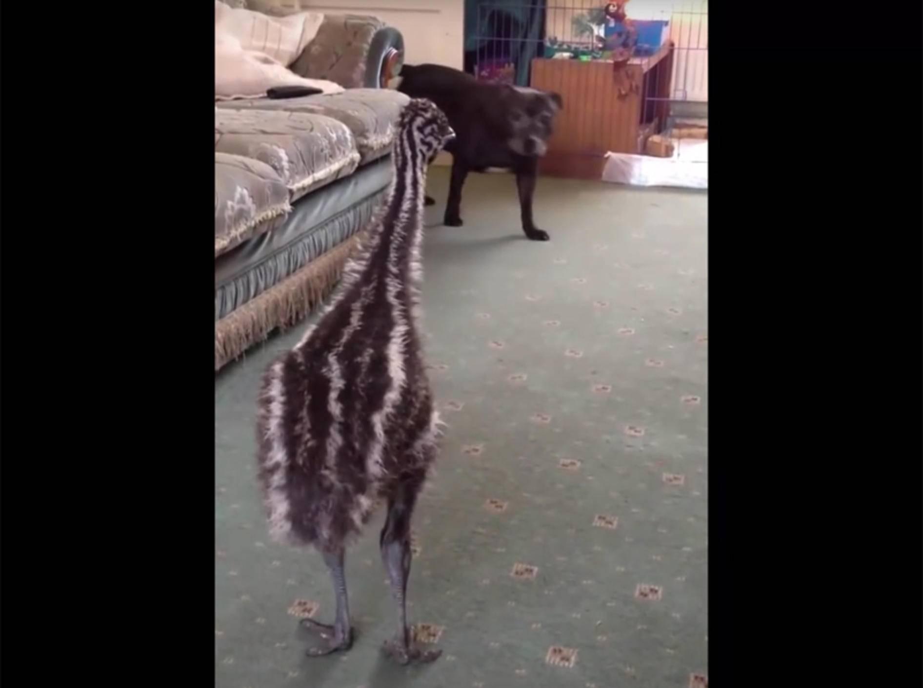 Emu-Küken will mit Hund spielen – YouTube / TITANVORTEX