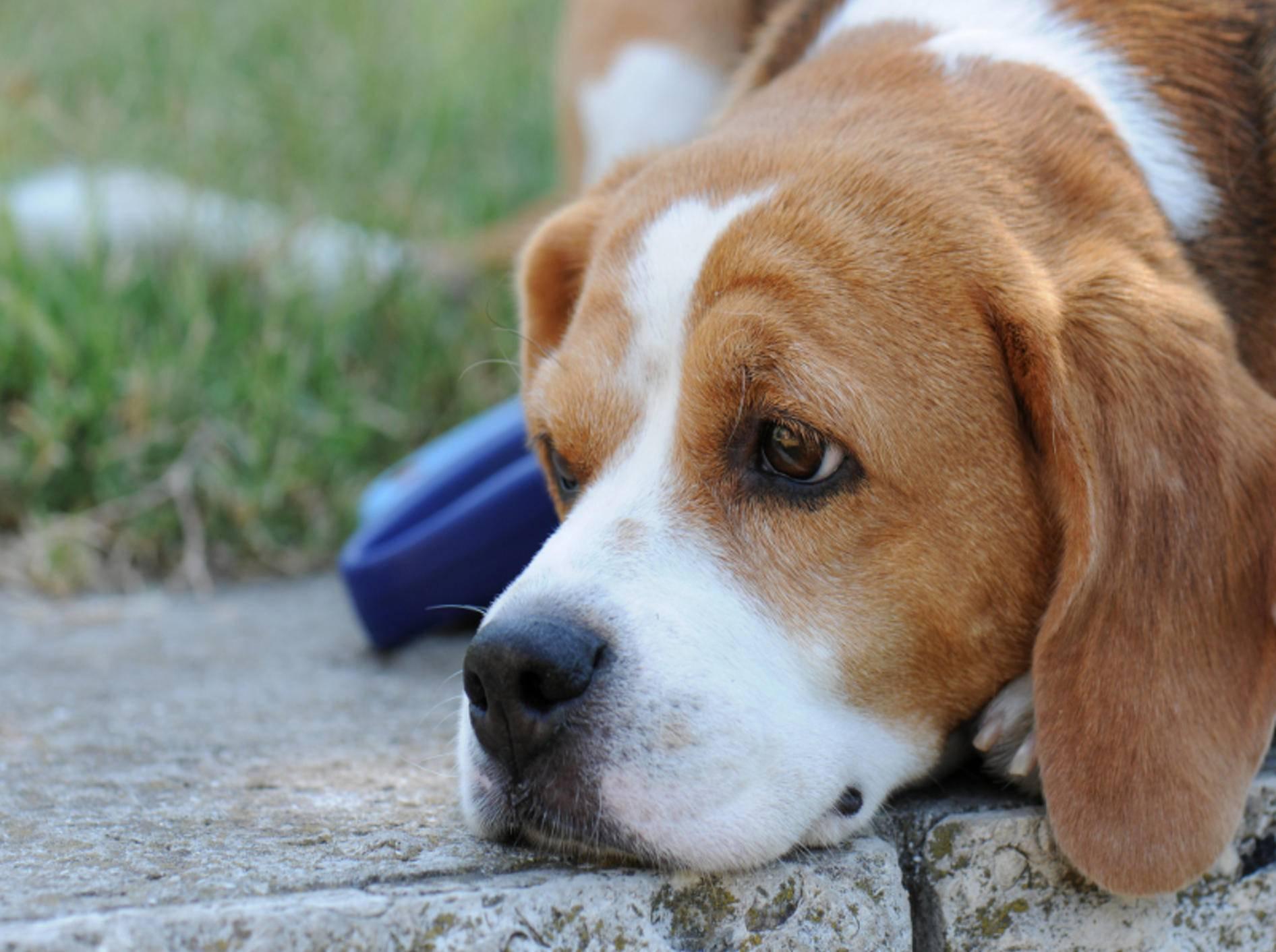 Hunde senden bestimmte Signale aus, um Harmonie zu erzeugen – Shutterstock / diyanski