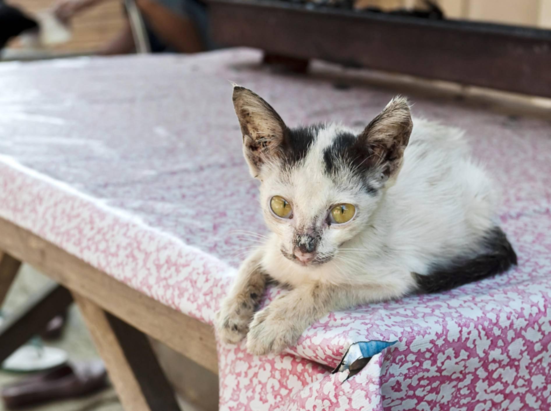 Katzenschnupfen Symptome und Behandlung