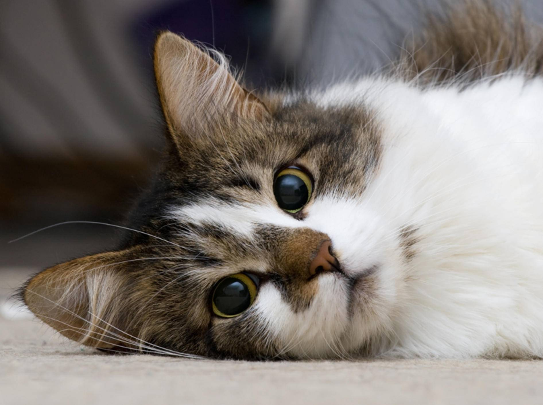 Katzenohren sind empfindlich und anfällig für Krankheiten – Shutterstock / Nikolai Tsvetkov