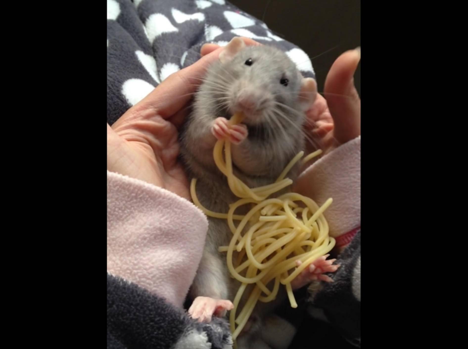 Diese knuffige Ratte liebt Spaghetti – YouTube / maaique