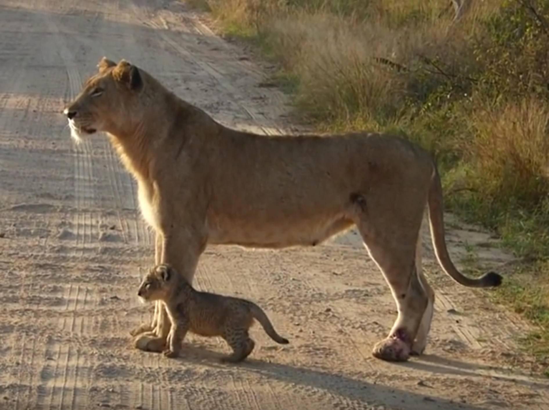 Löwenmutter mit Löwenbaby: Der Kleine muss das Brüllen noch üben – YouTube / Kruger National Park