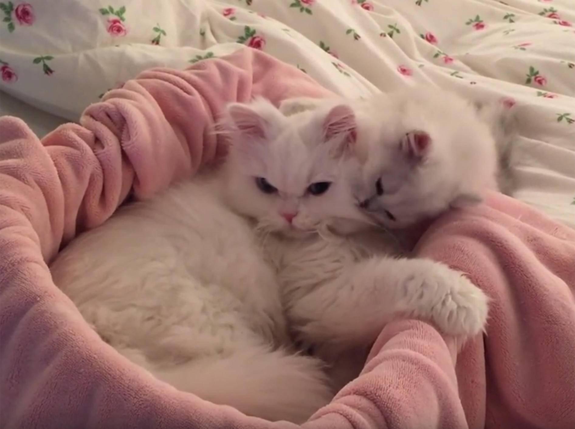 Fluffiges Kätzche putzt seinen Kumpel – YouTube / Ellen Fowler