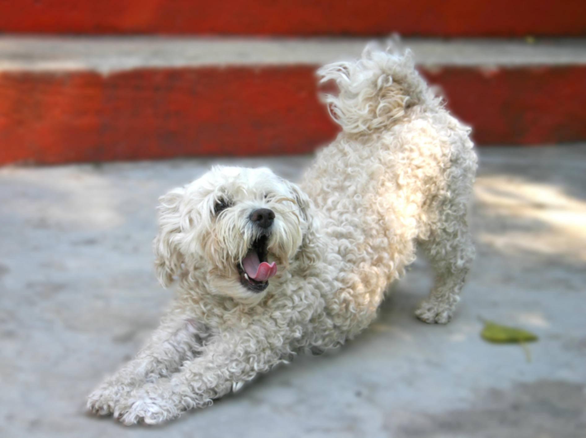 Beschwichtigungssignale von Hunden sind manchmal missverständlich – Shutterstock / Dumitrescu Ciprian-Florin