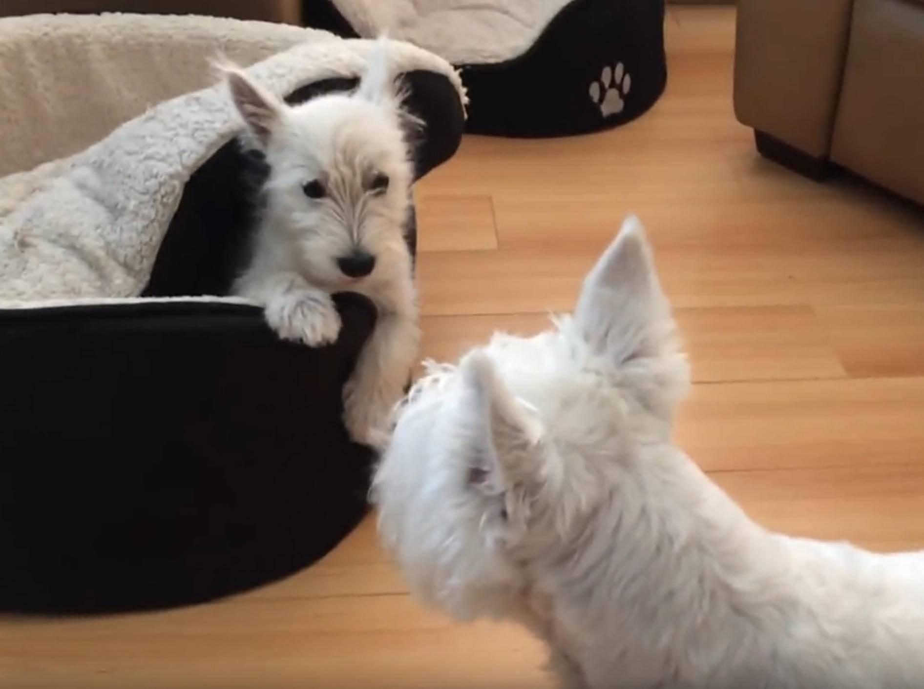 Zwei Westhighland White Terrier spielen Verstecken – YouTube / Rumble Viral