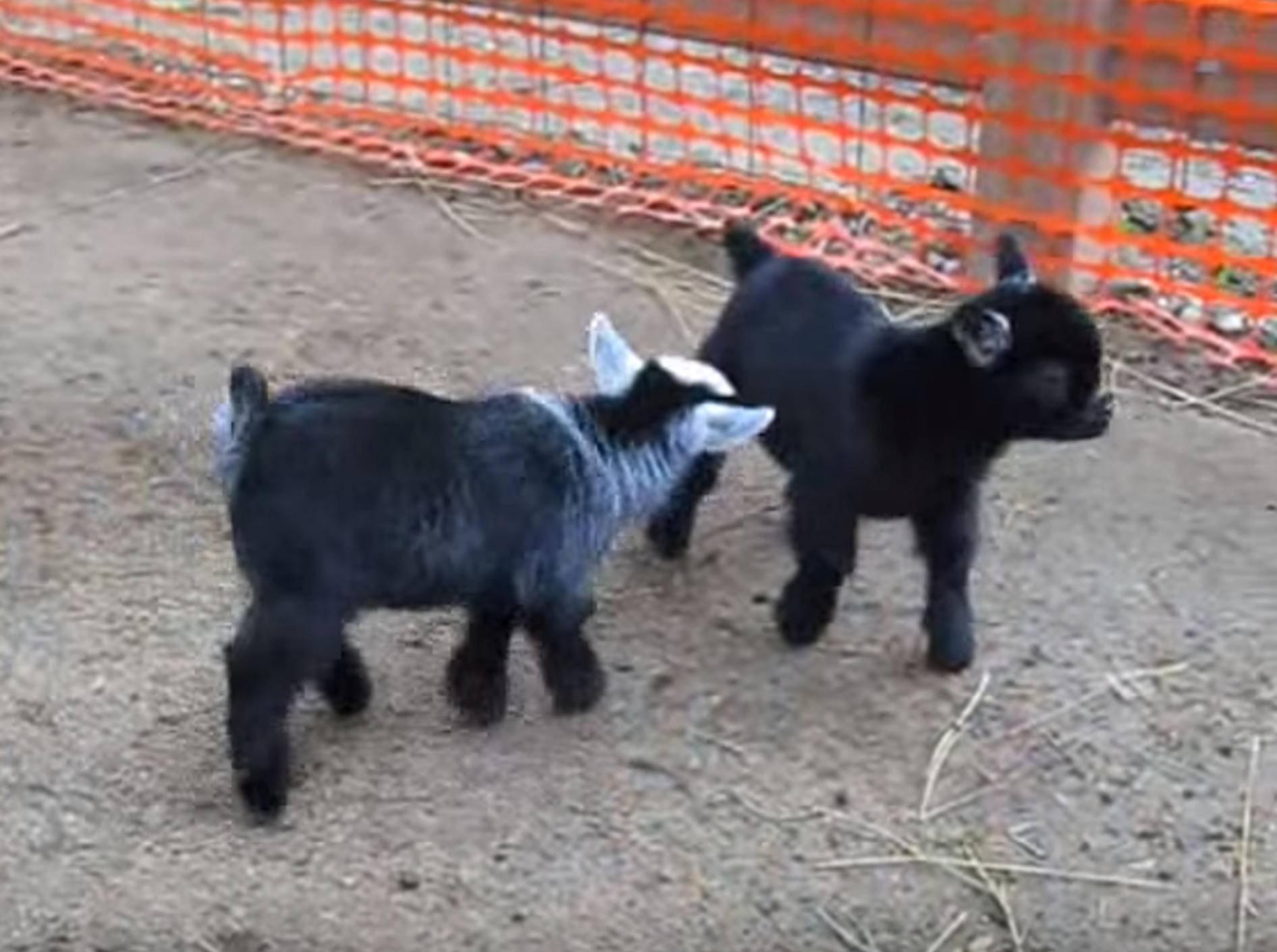 Baby-Zwergziegen wagen ein Tänzchen – Bild: YouTube / ModjeskaMan
