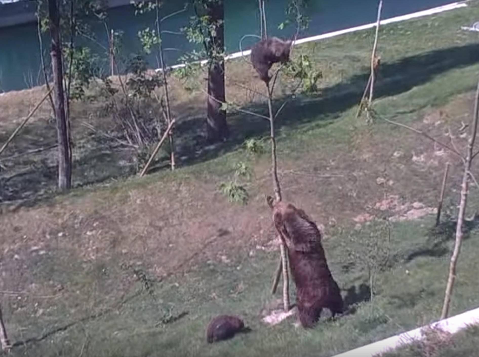 """""""Du kommst da jetzt runter!"""": Bärenmutter und ihr freches Kind – Bild: YouTube / Franz Gysi."""
