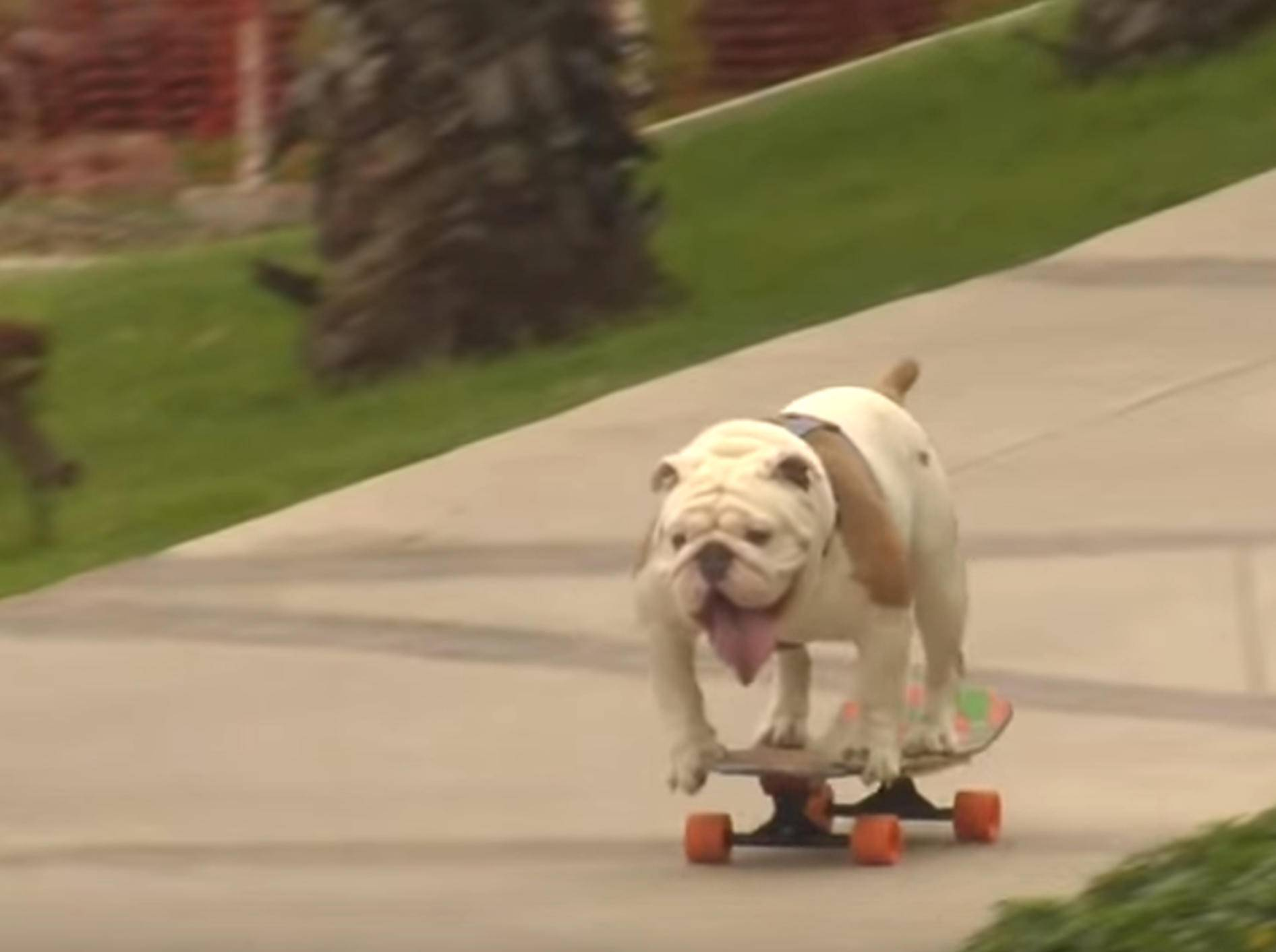 Bulldogge Otto bricht Weltrekord im Hunde-Skateboard-Fahren – Bild: YouTube / Guinness World Records