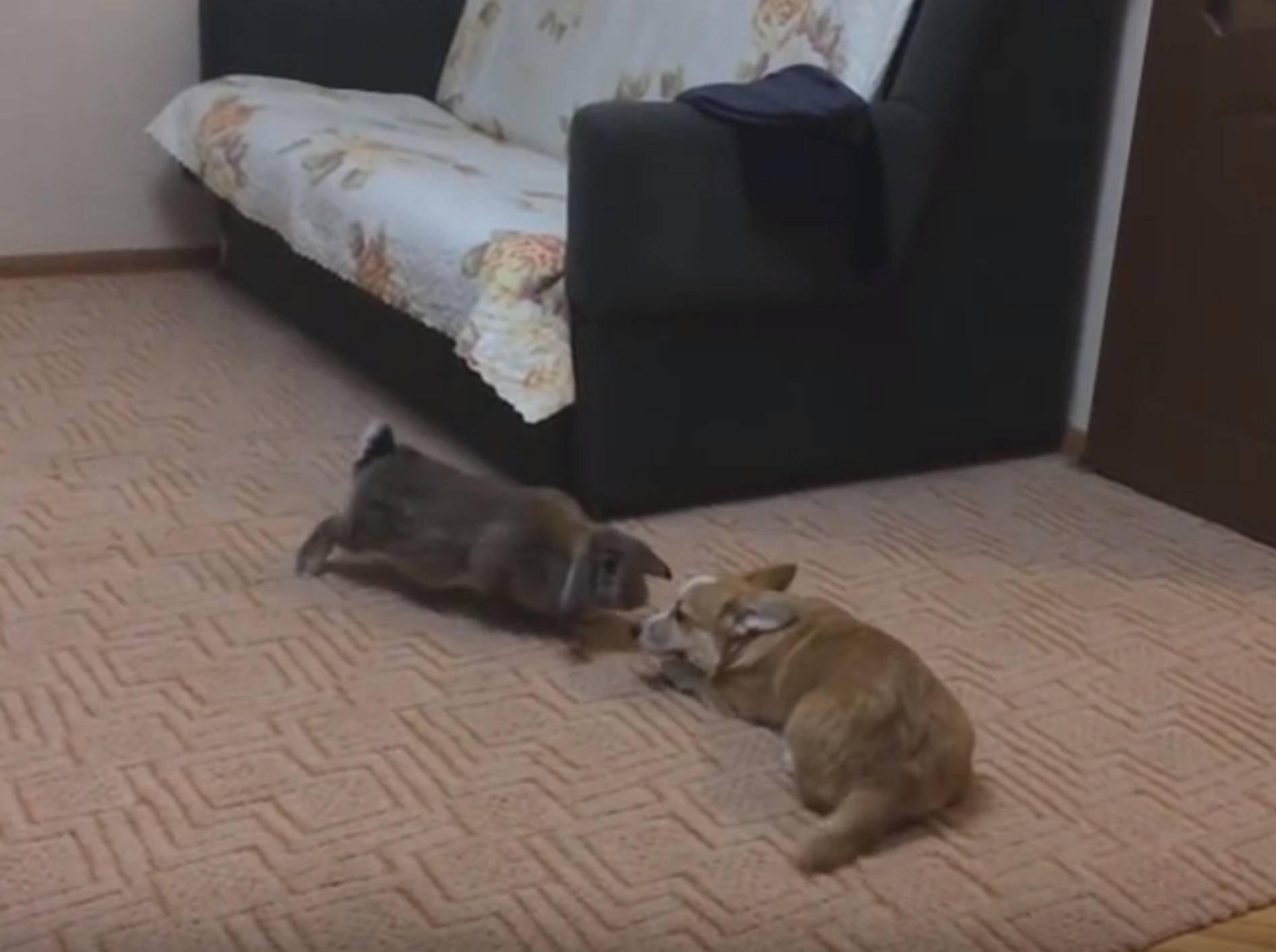 """Corgi und Kaninchen: """"Wollen wir Freunde sein?"""" – Bild: YouTube / winguner"""